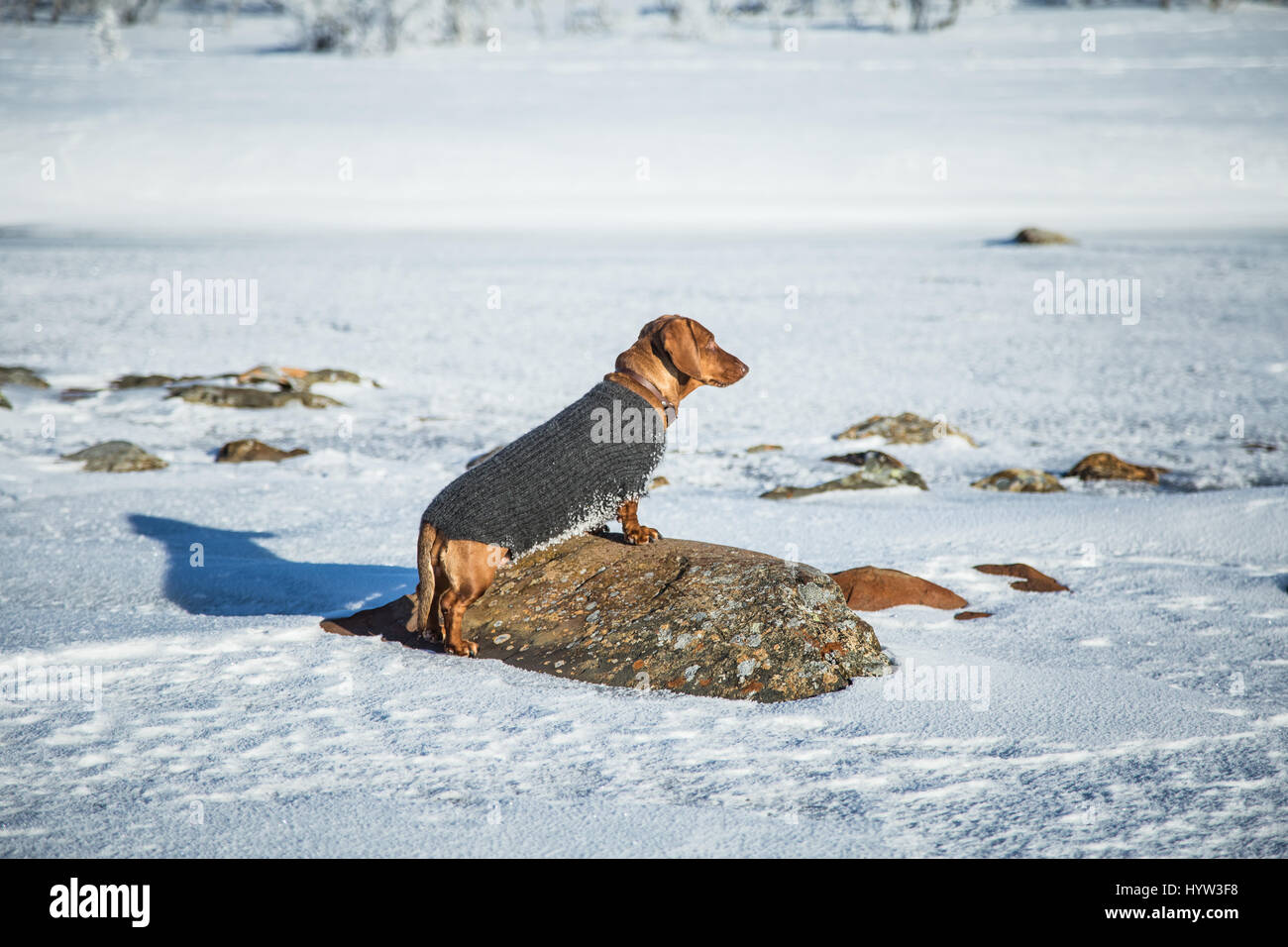A beautiful brown dachshund dog with a knitted sweater standing on the rock in the snow - Stock Image