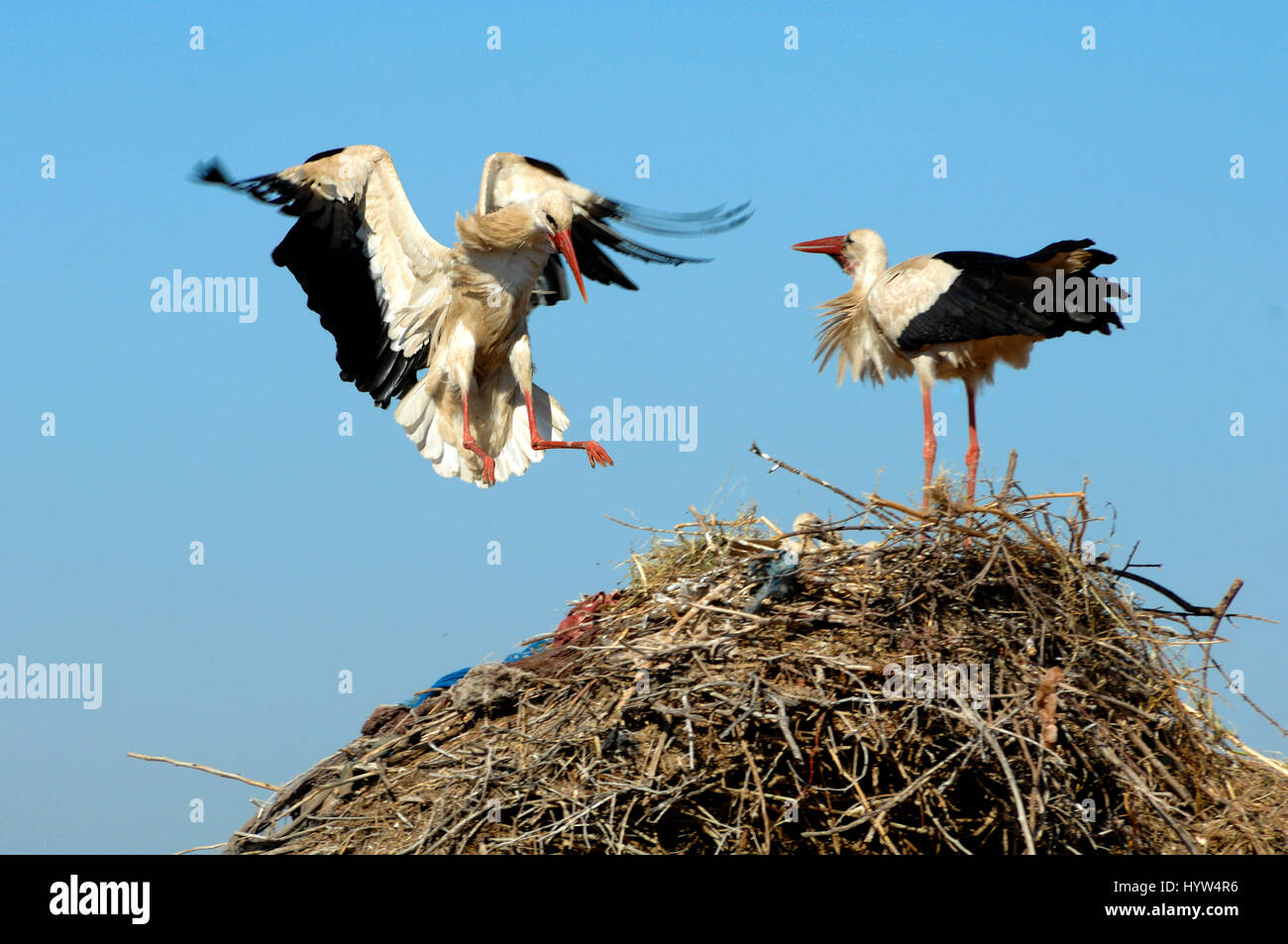 White Stork, Ciconia ciconia, Landing on Nest - Stock Image