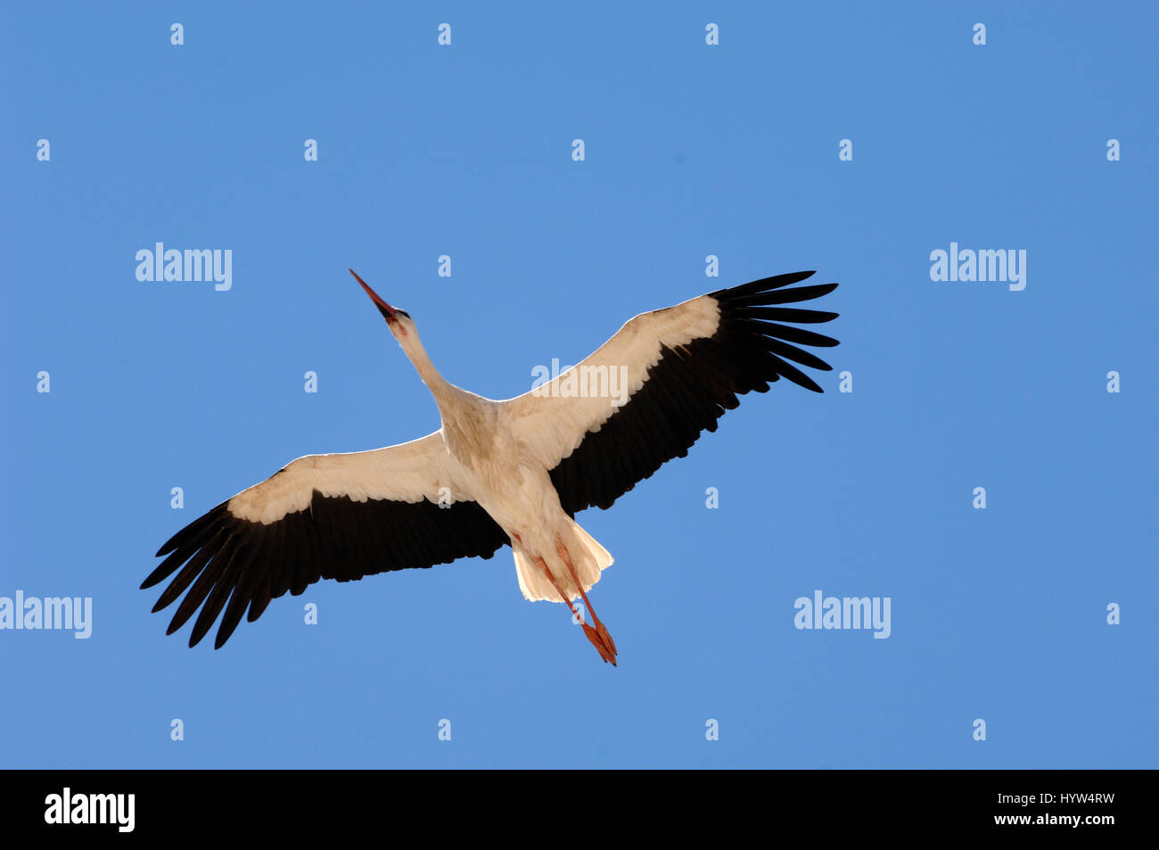 Single White Stork, Ciconia ciconia, Flying Wings Outstretched Against Clear Blue Sky Stock Photo