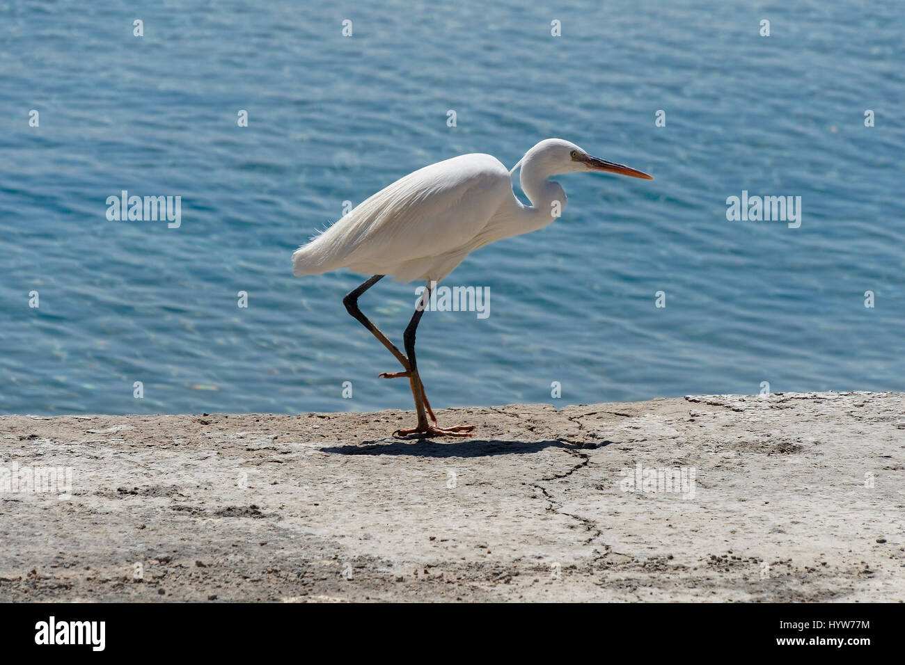 Egyptian Egret stands motionless on a concrete path at the side of the sea - Stock Image