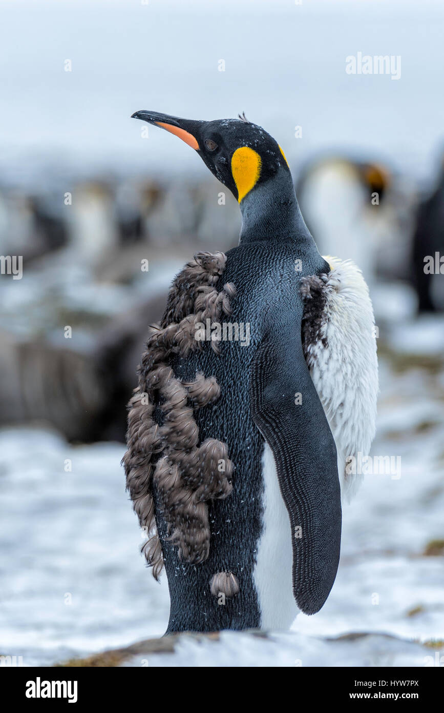 Molting King Penguin Chick - Stock Image