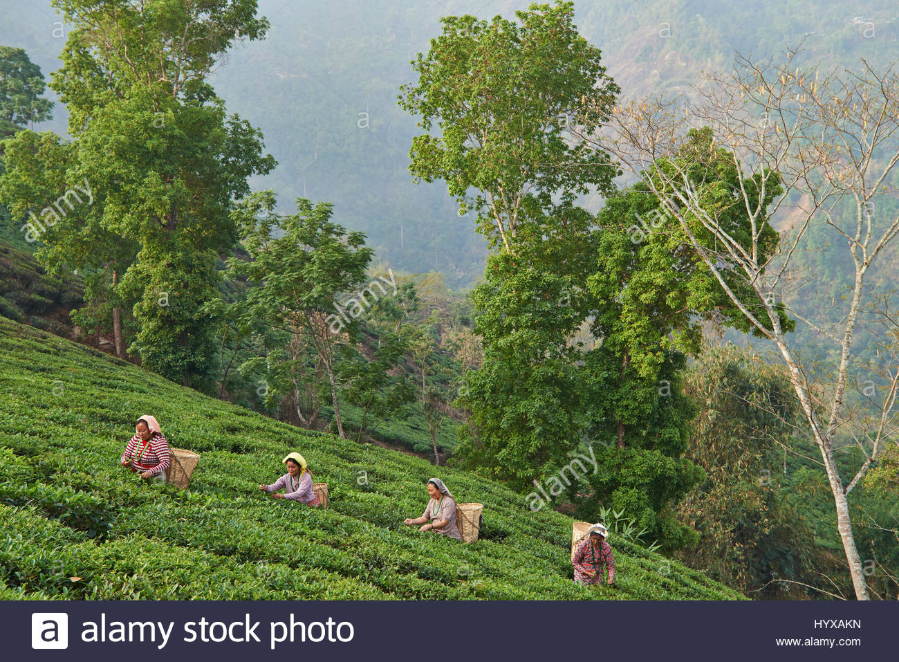 Female labor workers harvesting tea leaves in the tea plantation of the Glenburn Tea Estates in Darjeeling, first - Stock Image