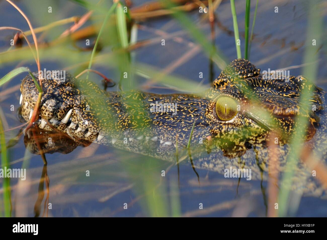 Africa, Botswana. Crocodile in Okavango river - Stock Image