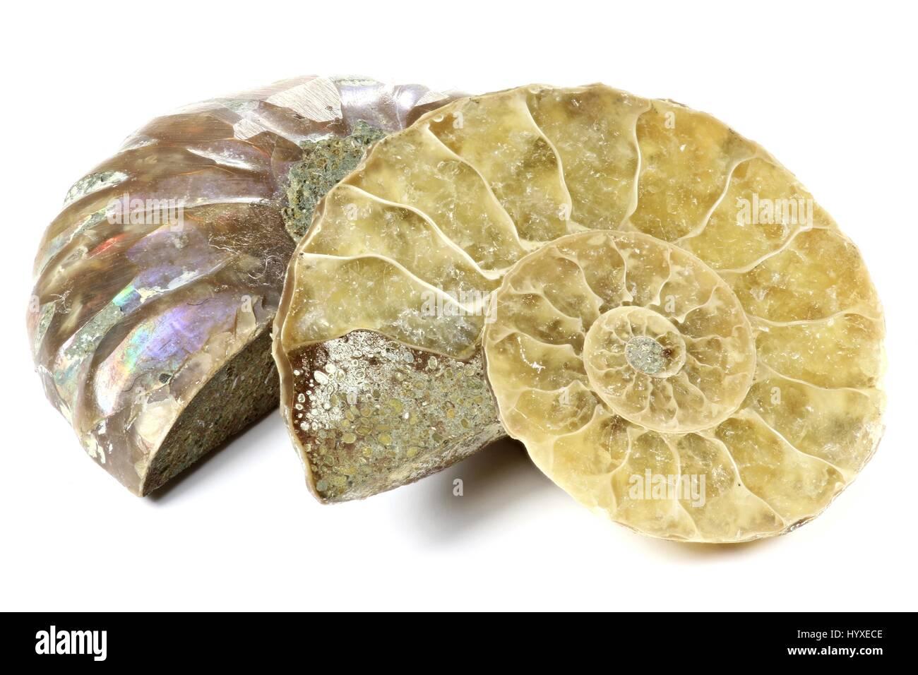 half cut ammonite isolated on white background - Stock Image
