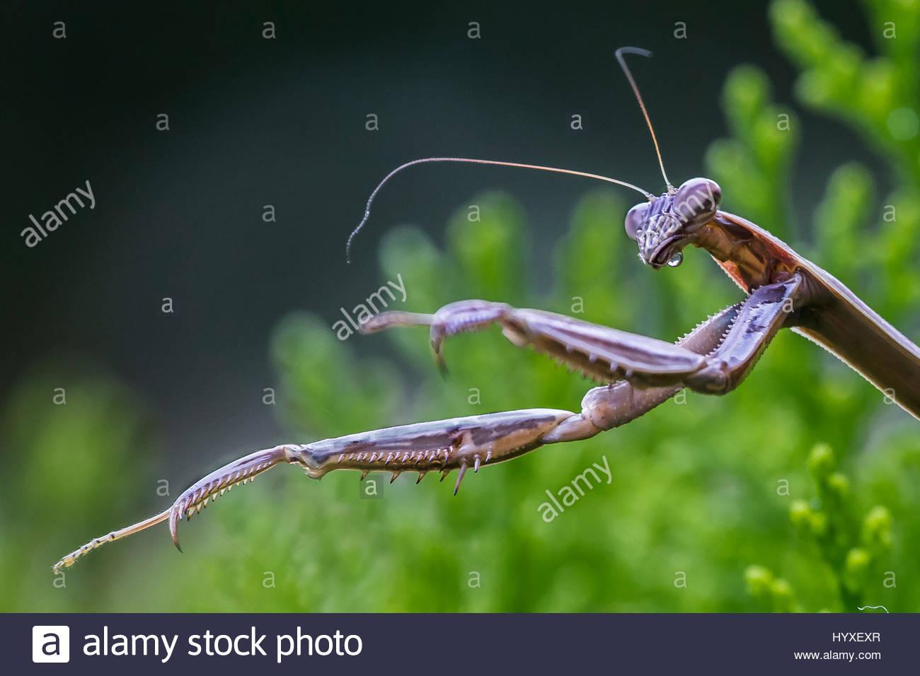 A praying mantis, Mantis religiosa, hunting, in an evergreen bush. Stock Photo
