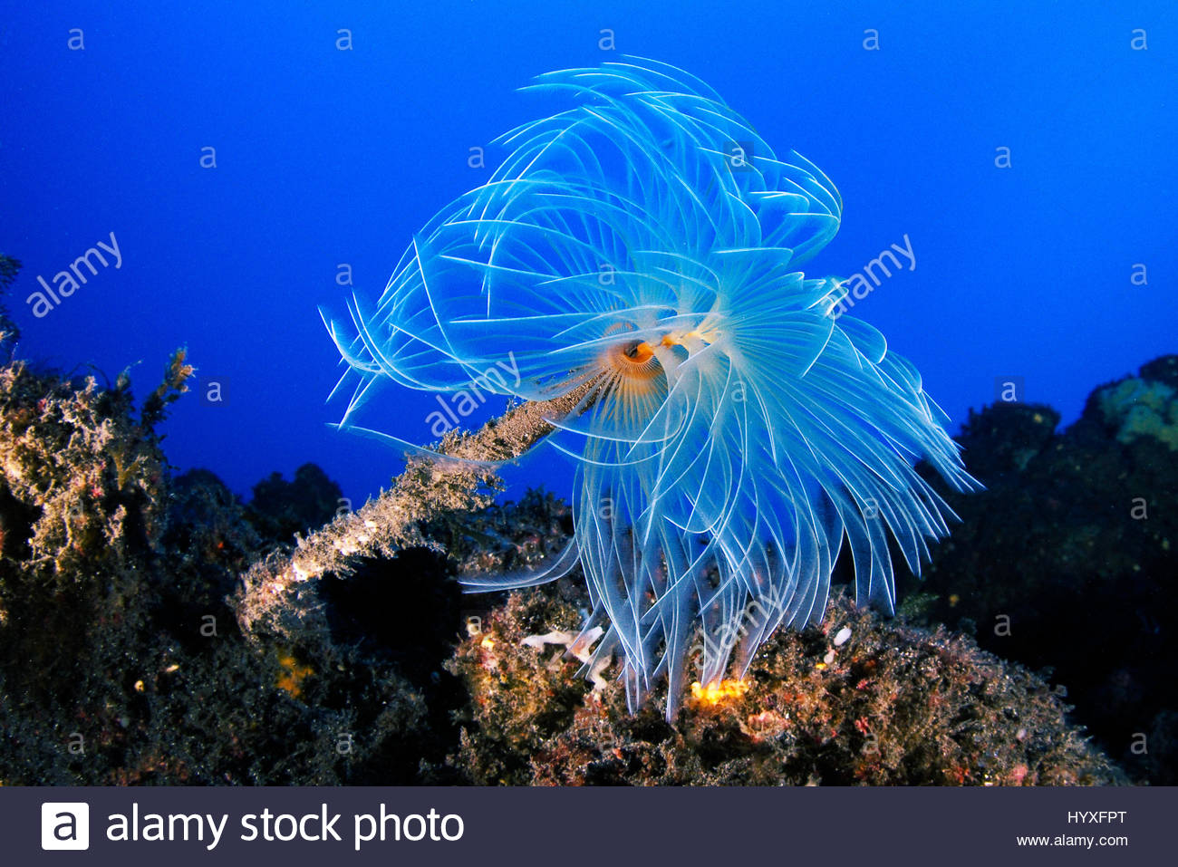 A feather duster worm stretches out its crown of feeding appendages. - Stock Image
