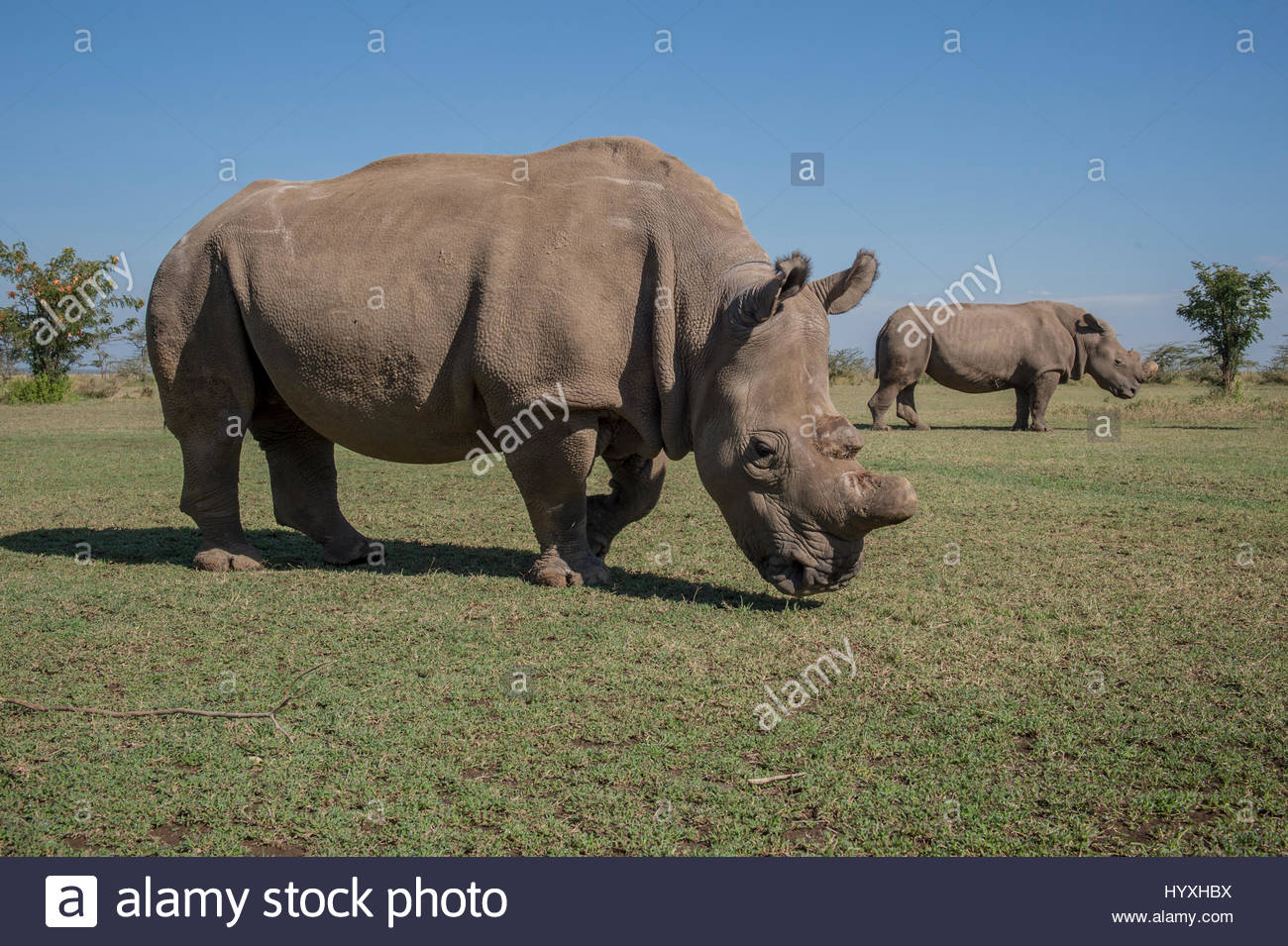 Sudan is one of the last four northern white rhinoceroses brought from a zoo in the Czech Republic to Ol Pejeta - Stock Image