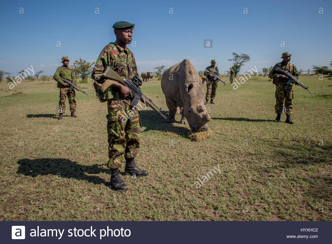 A platoon of armed guards watch over Sudan, one of the last four northern white rhinoceroses brought from a zoo - Stock Image