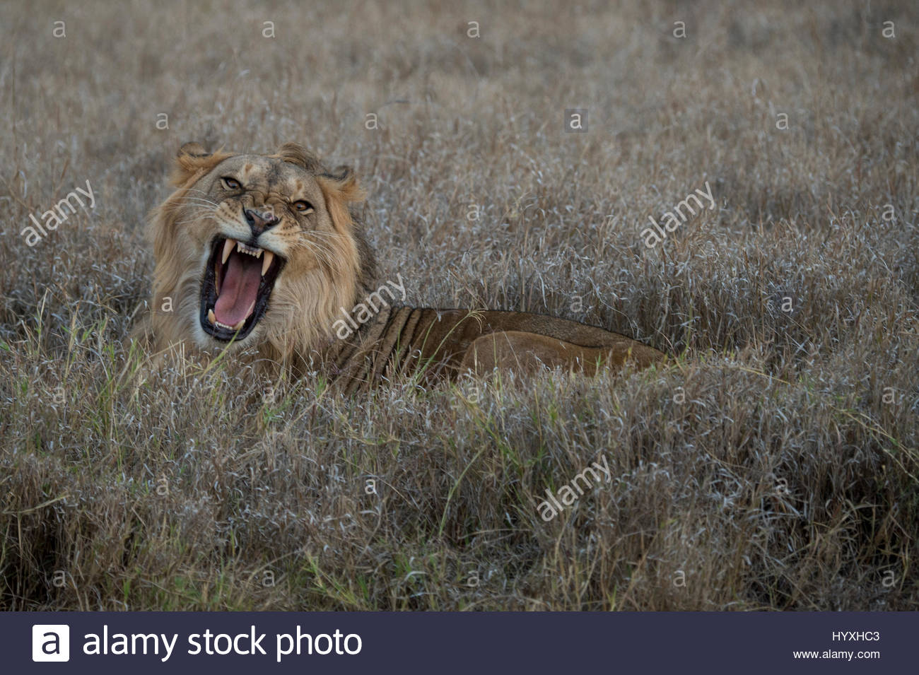 A male lion, at rest in soft grasses, snarling or yawning at the camera. - Stock Image