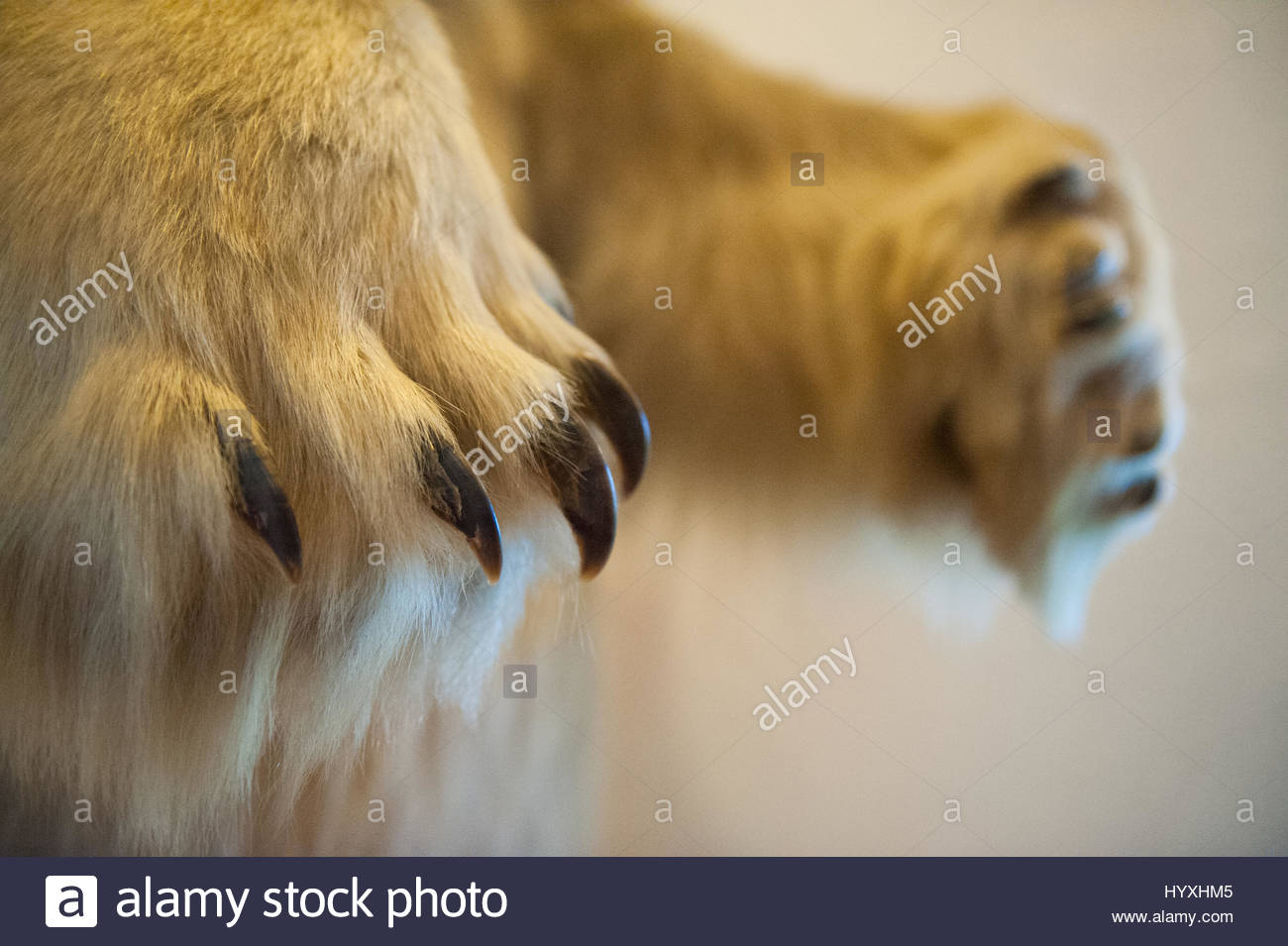 The paws of a stuffed polar bear, Ursus maritimus. - Stock Image