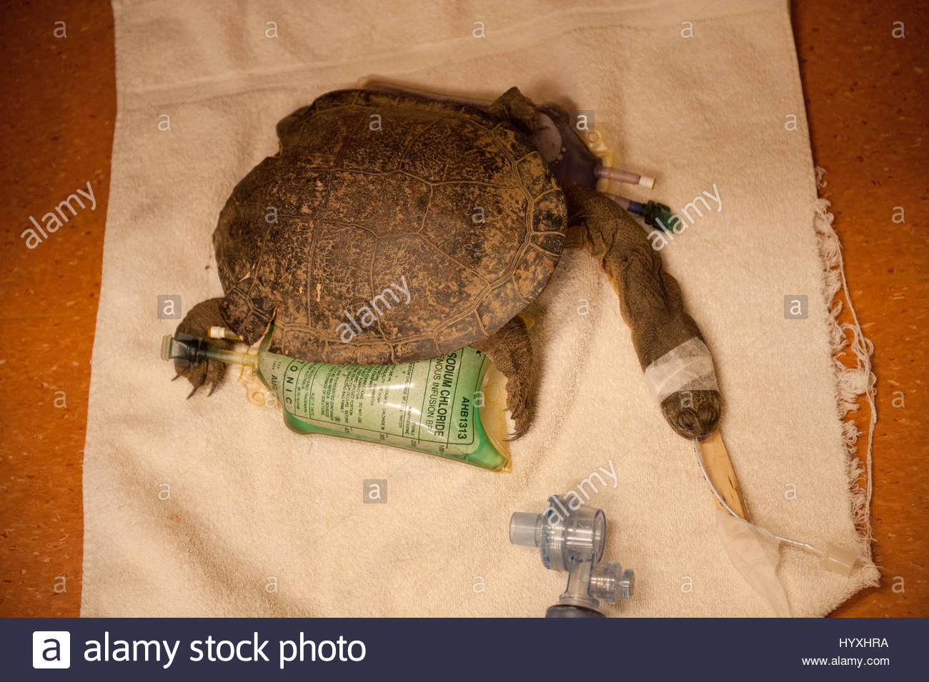 A sick giant snake-necked turtle, Chelodina expansa, is cared for at the Australia Zoo Wildlife Hospital. - Stock Image
