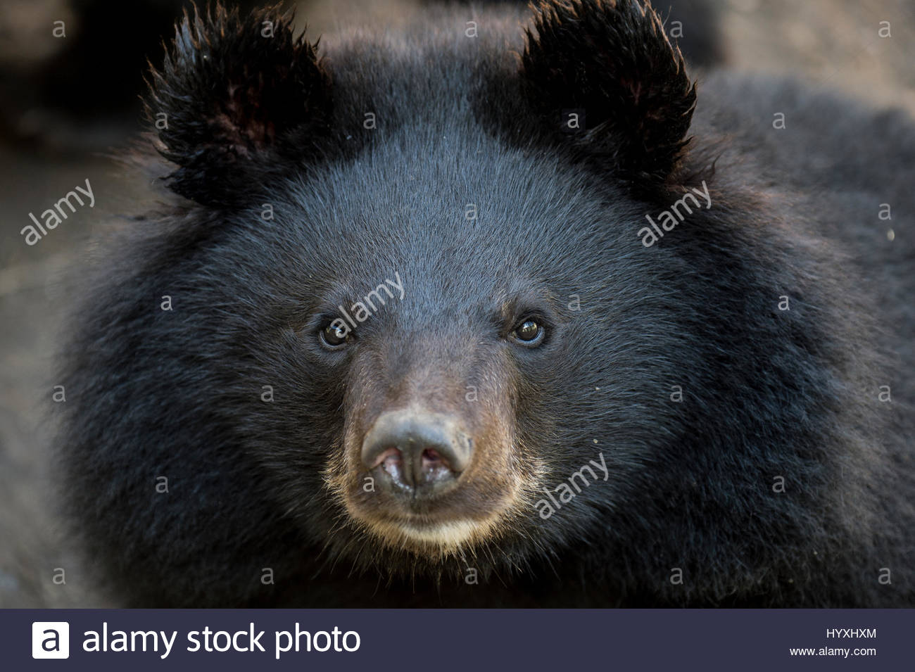 Close up portrait of a rescued Asiatic black bear. - Stock Image