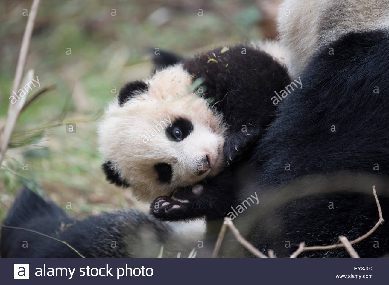 A 14-year-old, captive-born giant panda named YeYe holds her young cub. The cub will be trained to be released back - Stock Image