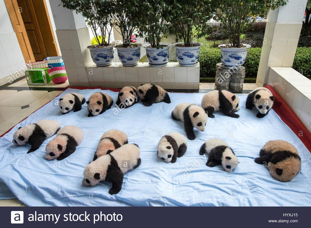 Fourteen baby captive-bred giant pandas on a blanket at the Bifengxia Panda Base giant panda breeding center. - Stock Image