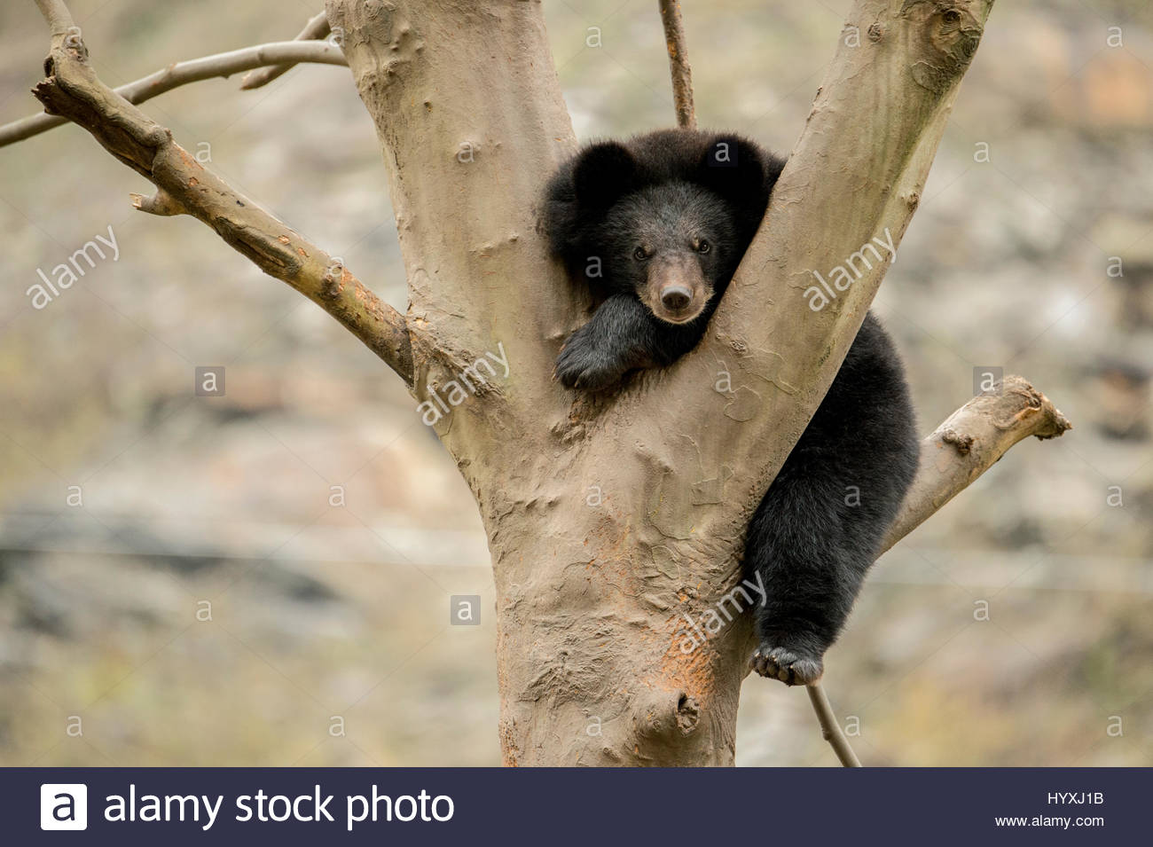A captive Asiatic black bear in a tree. The bears are used to help train captive giant pandas that are being released - Stock Image