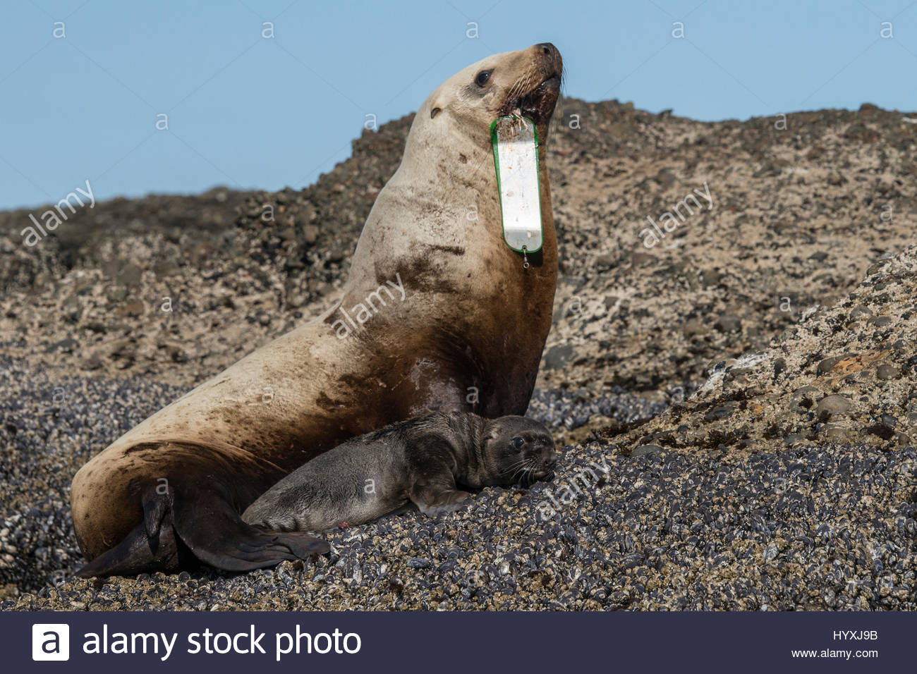A female stellar sea lion, with swallowed fisherman's hook, and pup. - Stock Image