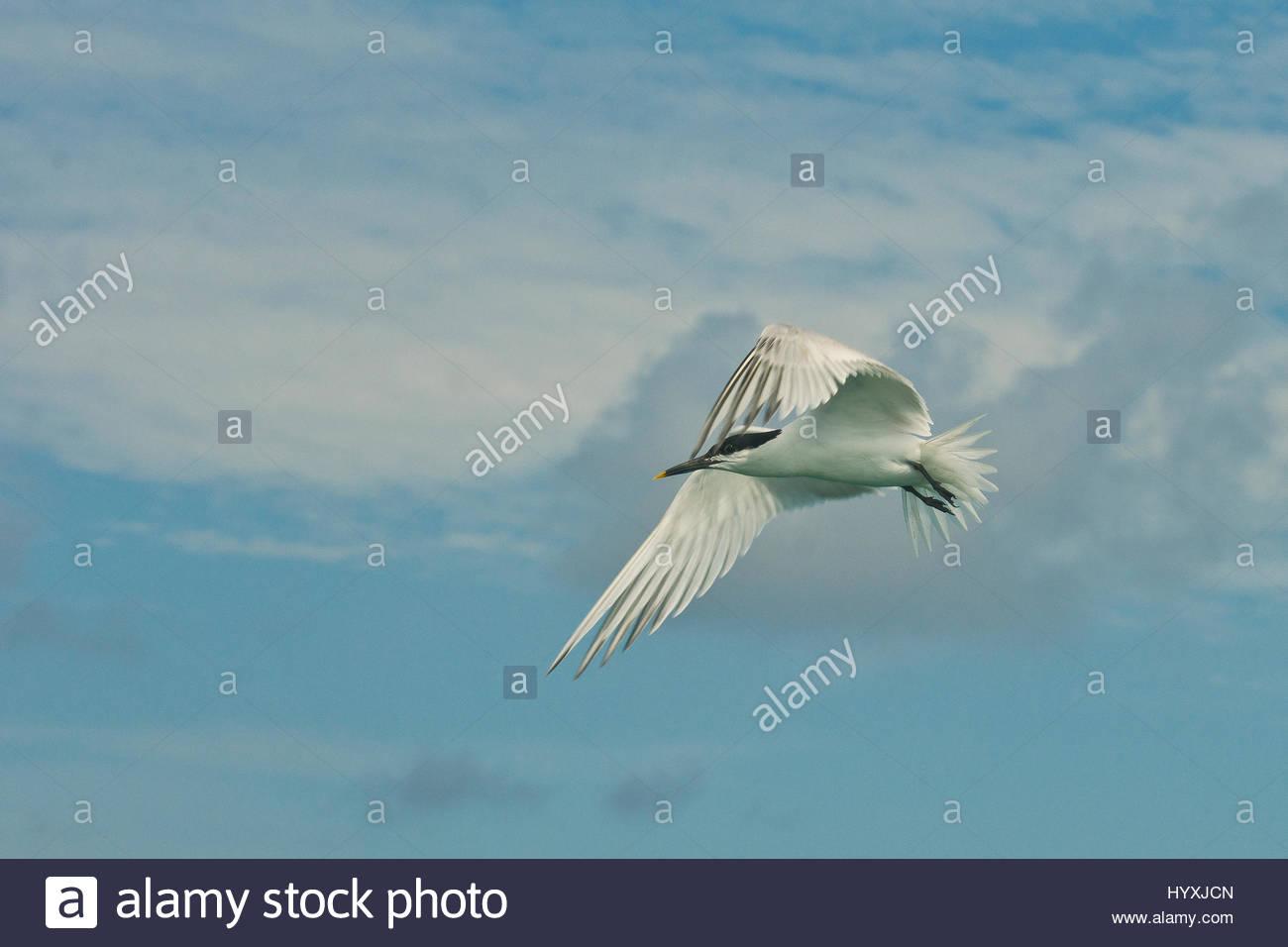 A tern flies in the Gracias a Dios Province, Honduras. Stock Photo