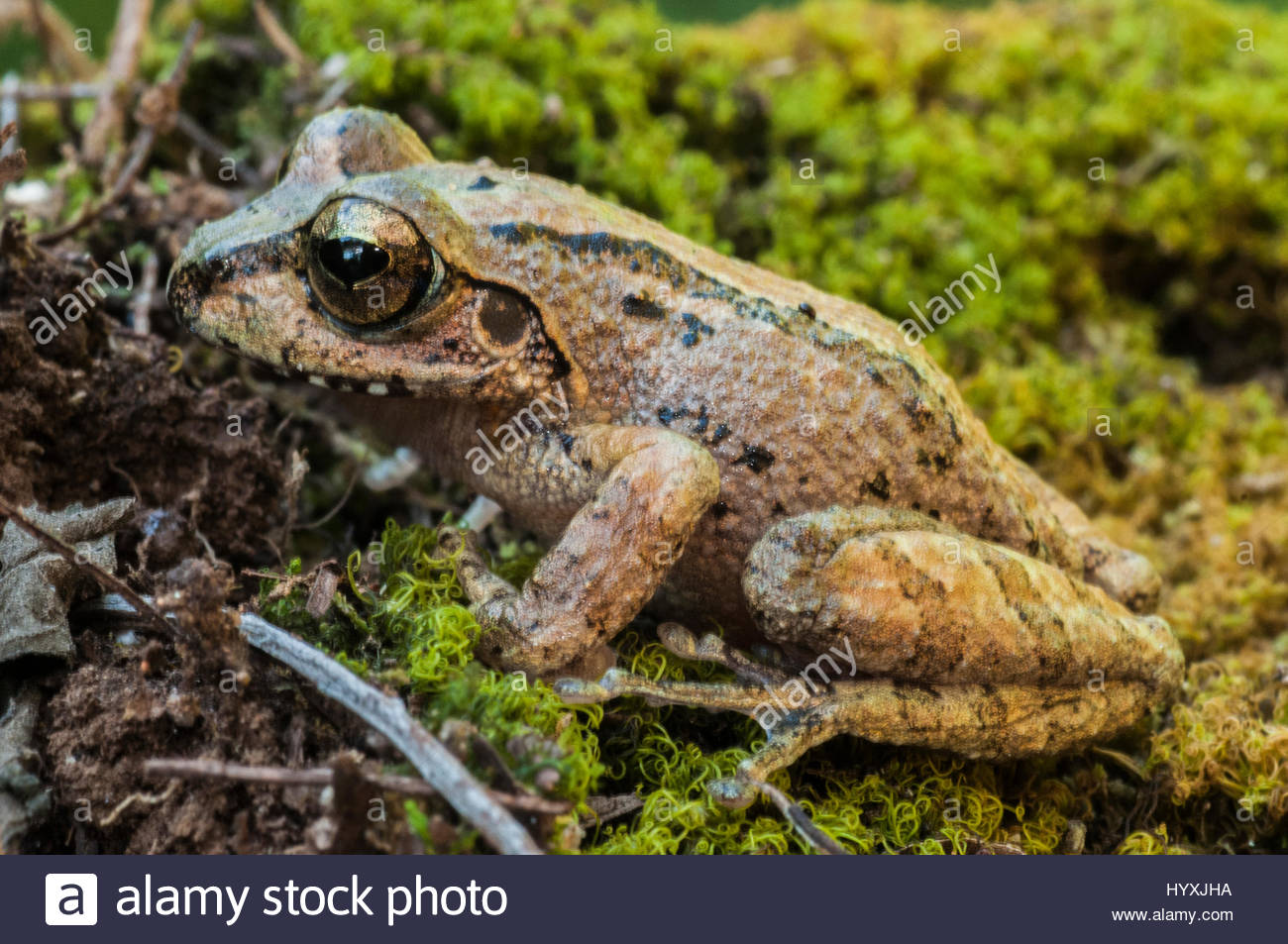 A bronzed frog, Hylarana temporalis, sits on the ground in Sinharaja Forest Reserve. - Stock Image