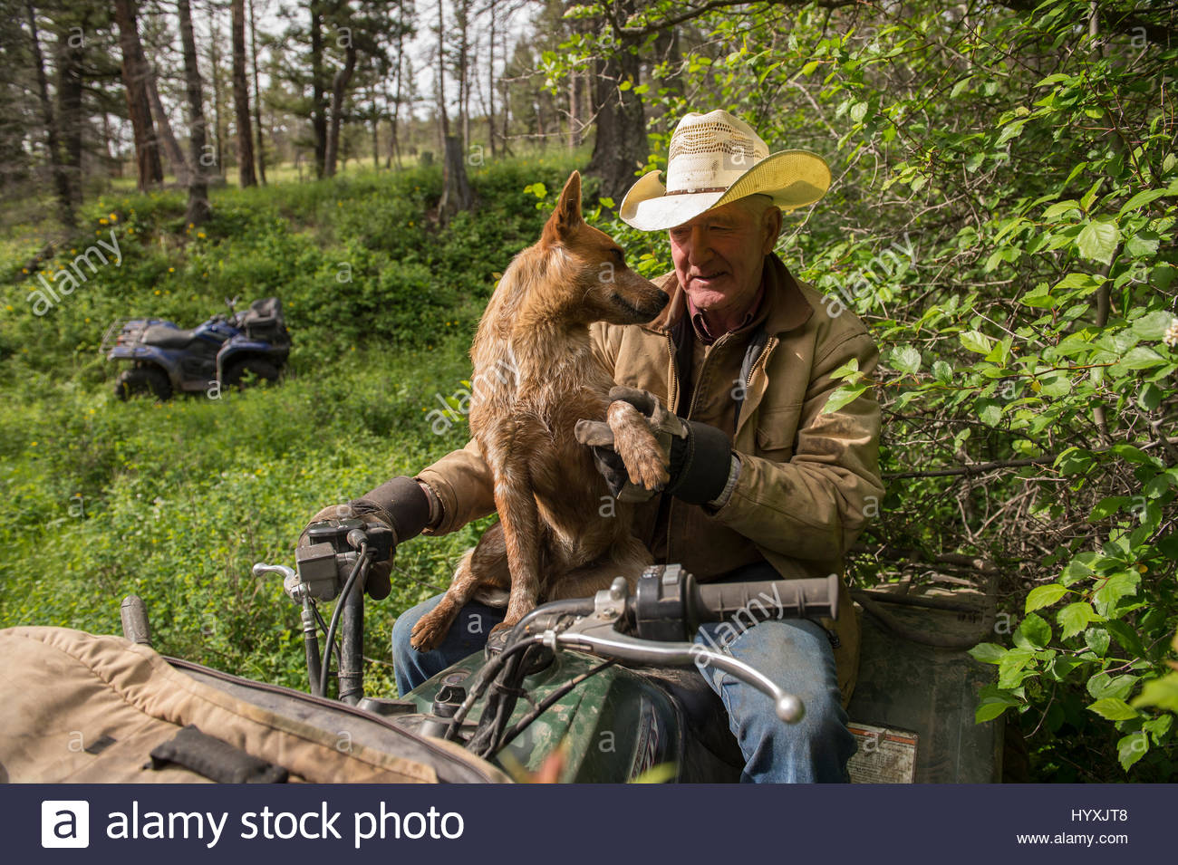 A man and his dog on an ATV, to herd cattle. - Stock Image