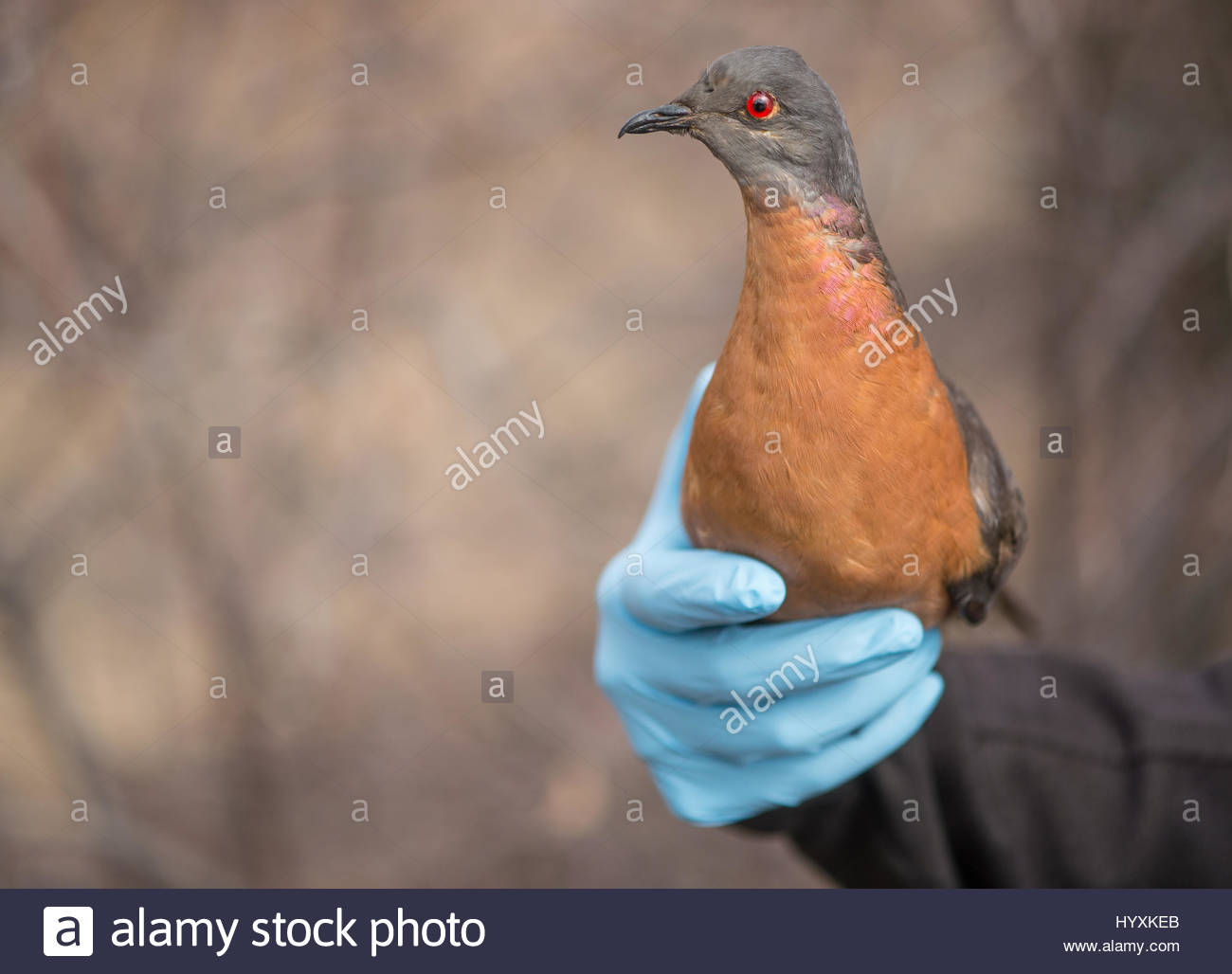 An extinct passenger pigeon, Ectopistes migratorius. - Stock Image