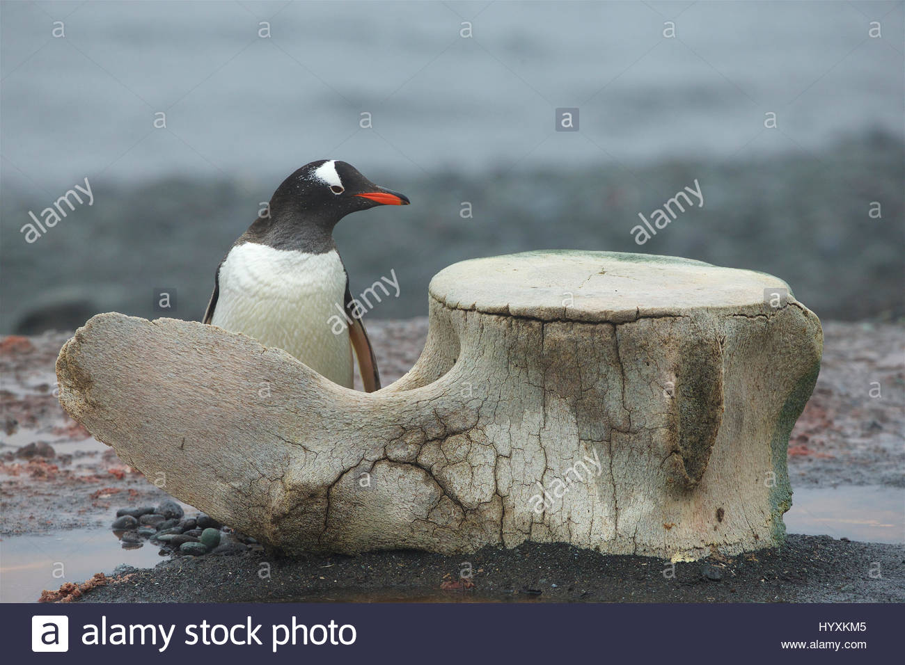 A Gentoo Penguin, Pygoscelis papua, next to vertebrae of large baleen whale. Stock Photo