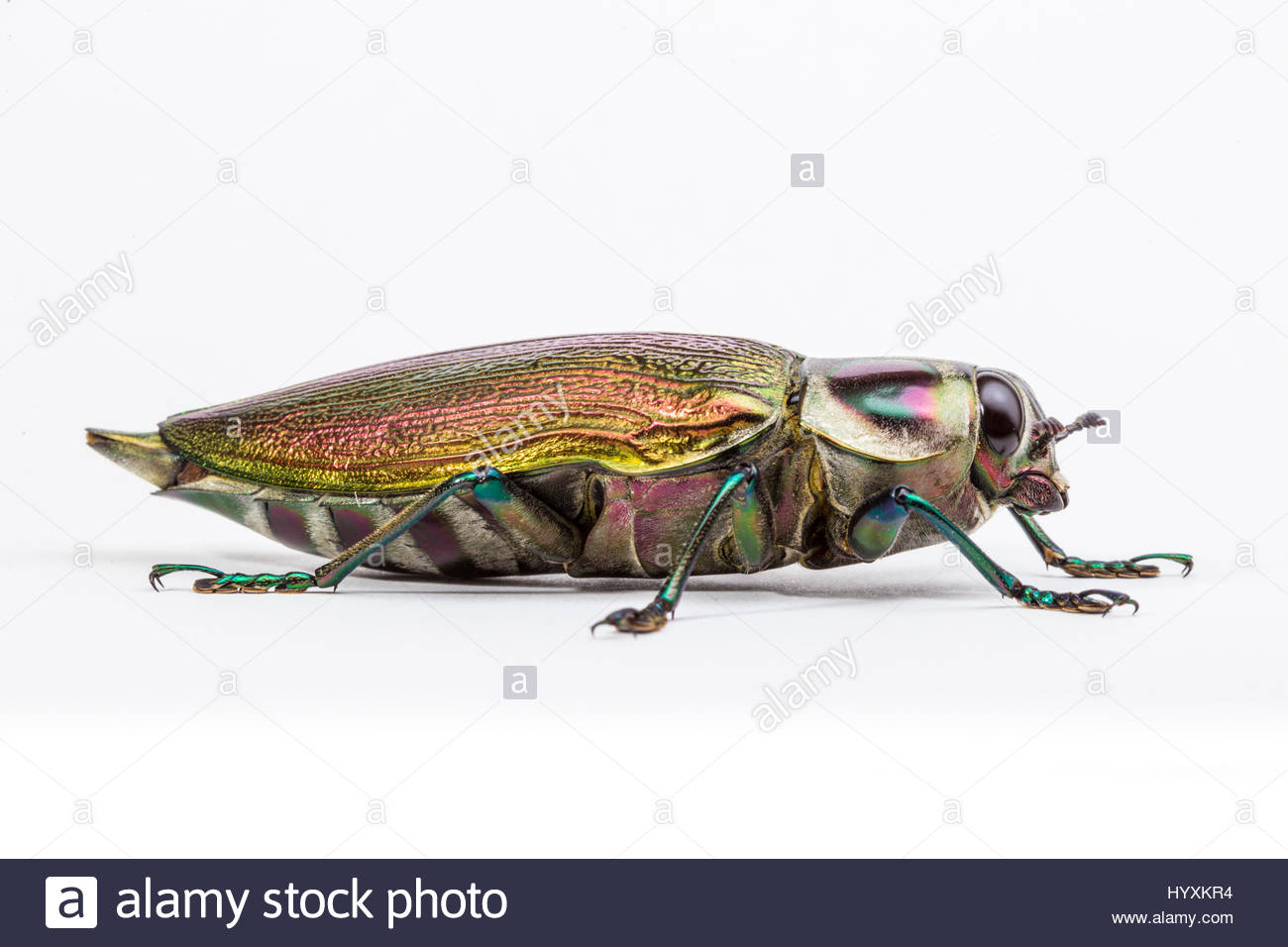A giant metallic wood-boring beetle from the Buprestidae family. - Stock Image