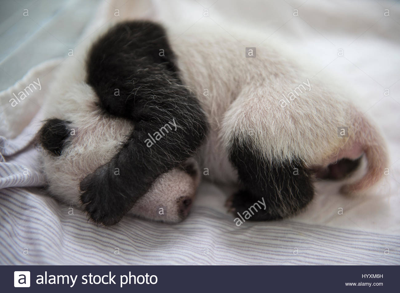 A giant panda cub that is only weeks old sleeps inside an incubator at the Bifengxia Giant Panda Breeding and Research - Stock Image