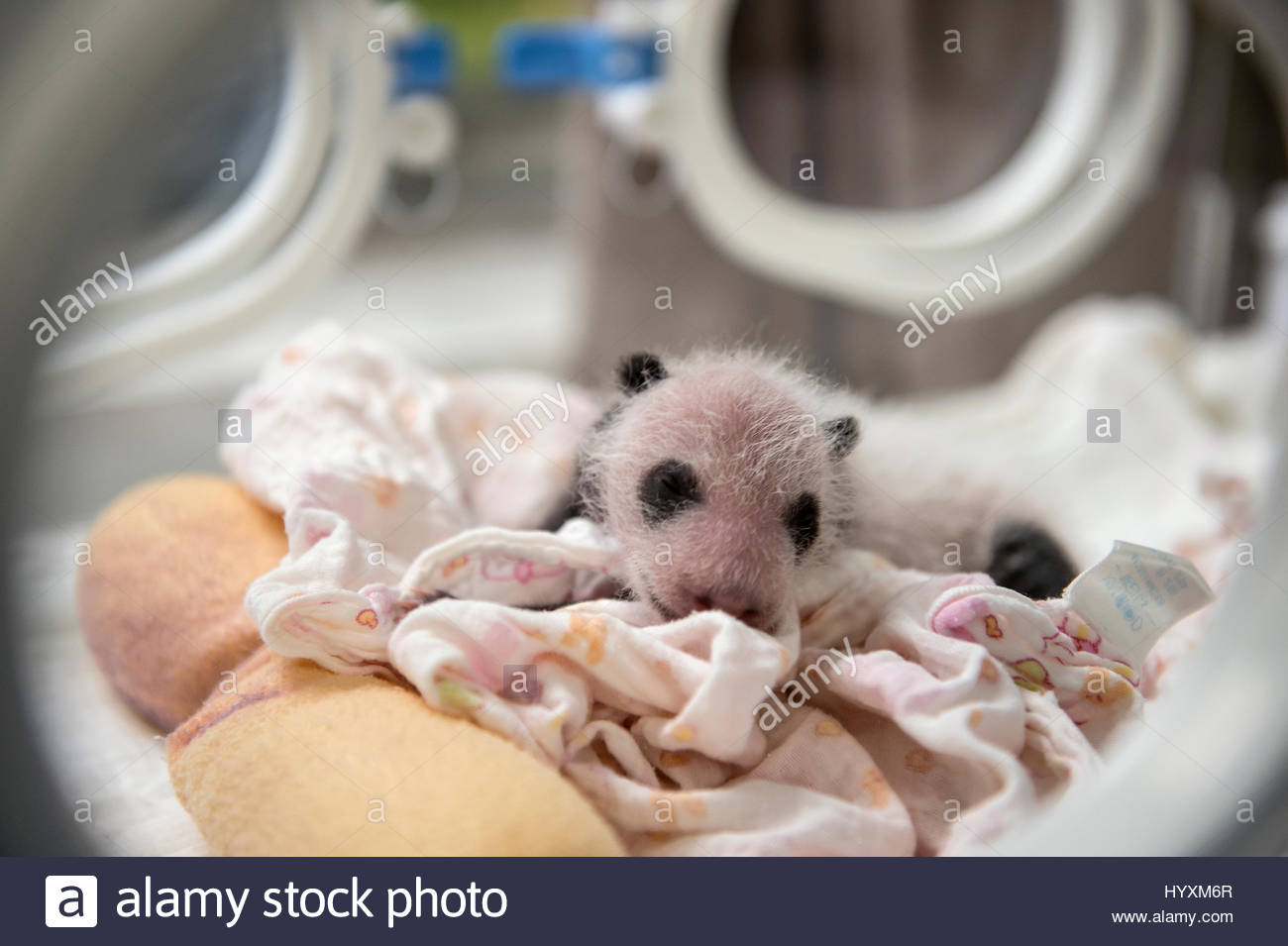 A newborn giant panda cub sleeps inside an incubator at the Bifengxia Giant Panda Breeding and Research Center. - Stock Image