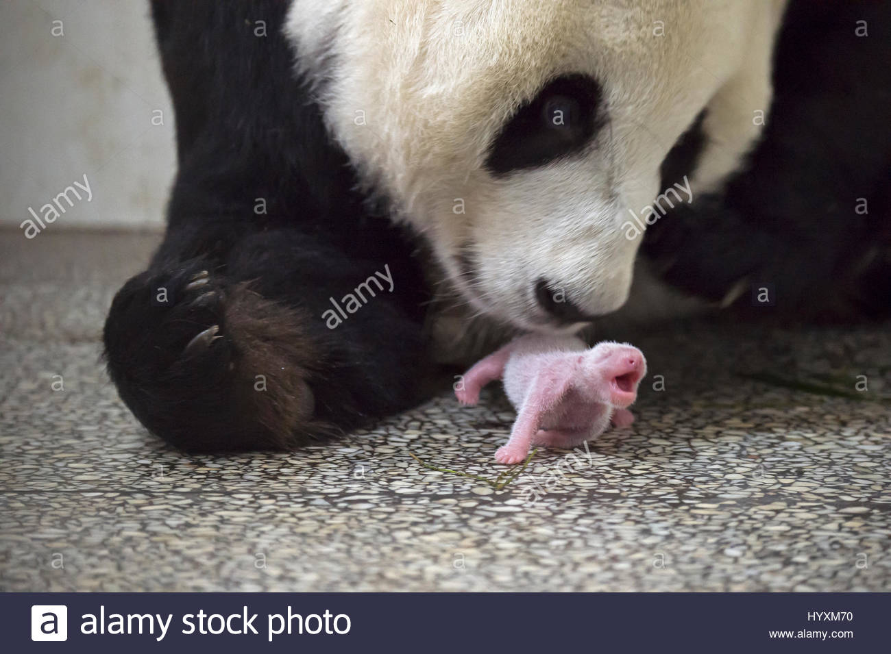 A seven-year-old giant panda is monitored after she gives birth to a baby girl at the Bifengxia Giant Panda Breeding - Stock Image