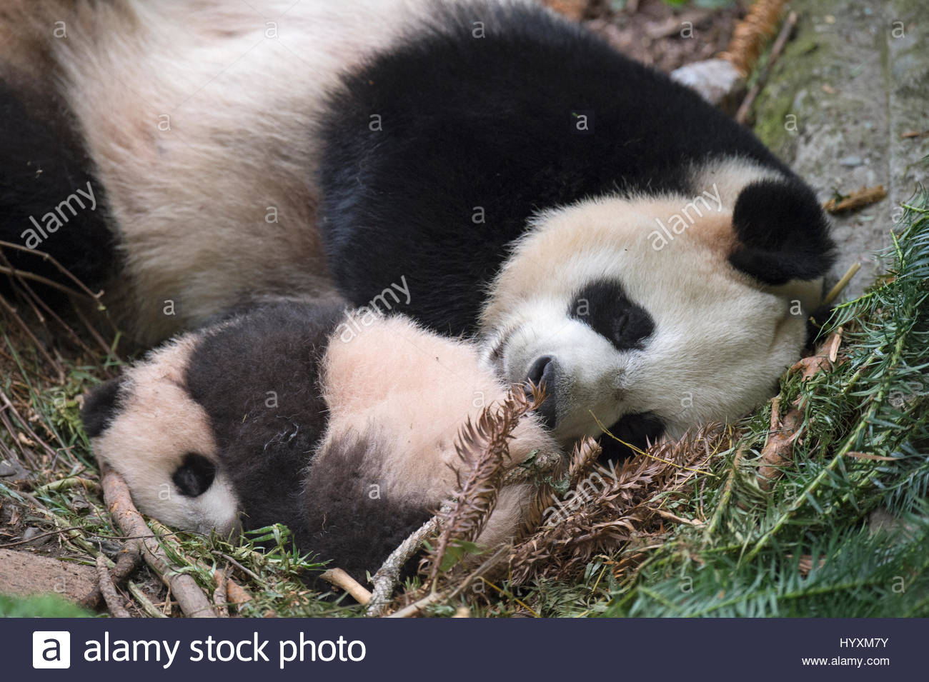 A giant panda mothers sleeps with her cub at the Wolong Nature Reserve. - Stock Image