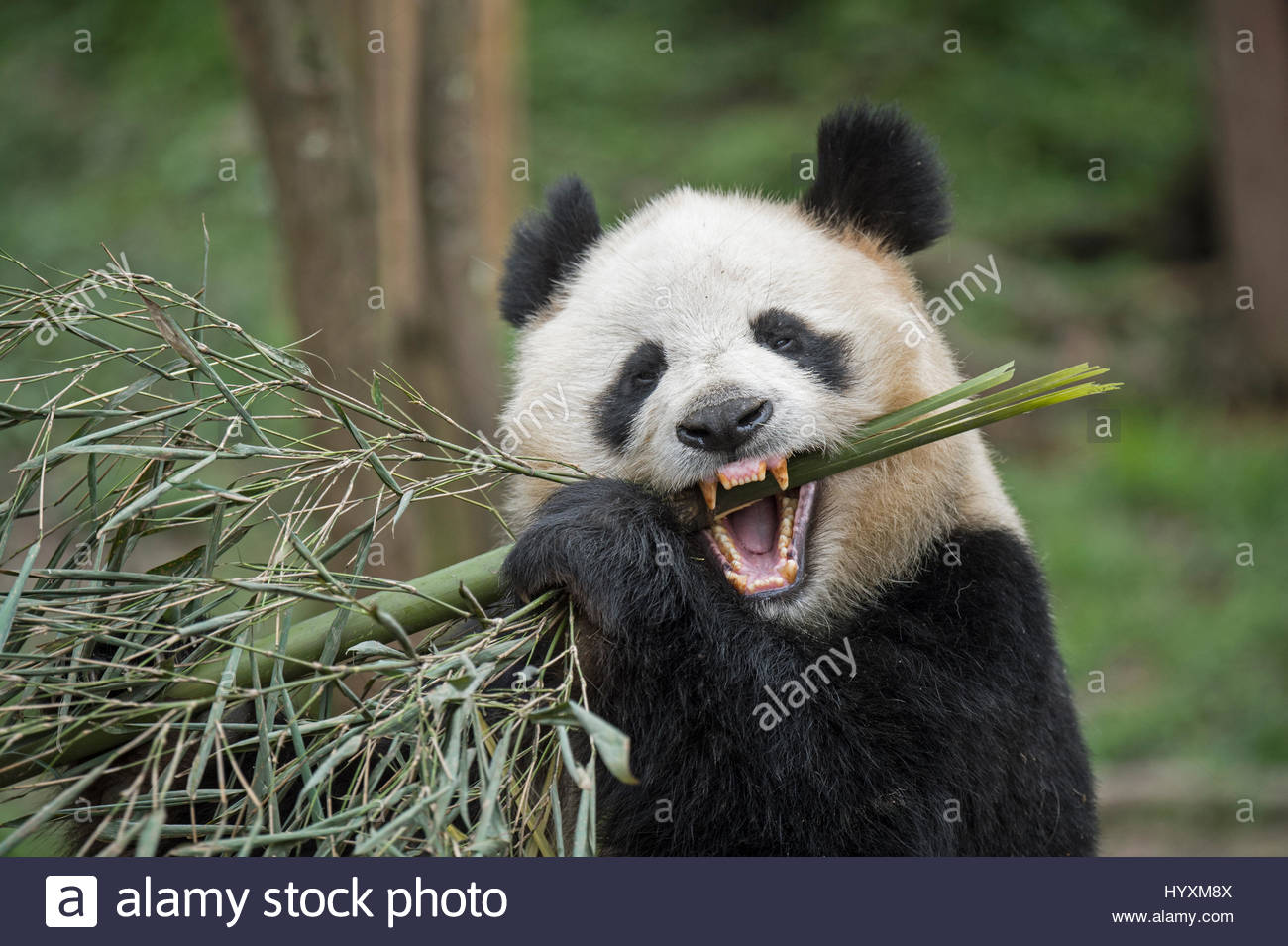 A giant panda eats bamboo in her enclosure in the overseas-born section at the Bifengxia Panda Base. - Stock Image