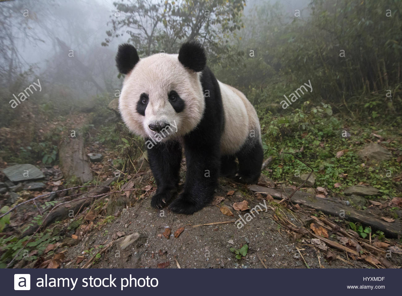 A giant panda inside its enclosure at the Wolong China Conservation and Research Center. - Stock Image