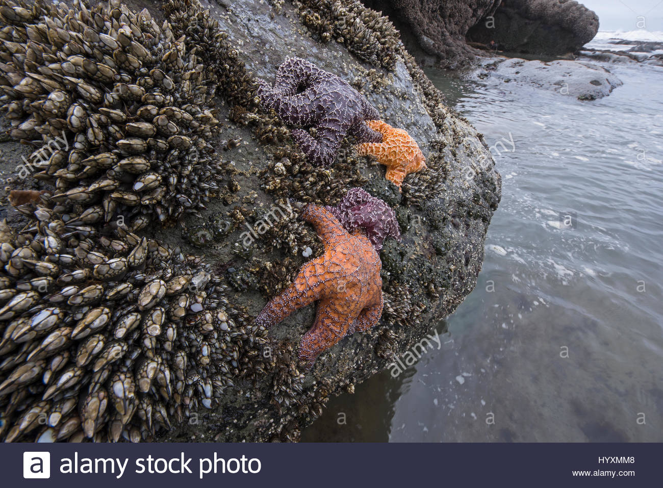 Ochre sea stars, in decline due to rising sea temperatures, in a tide pool in Washington's Olympic National - Stock Image