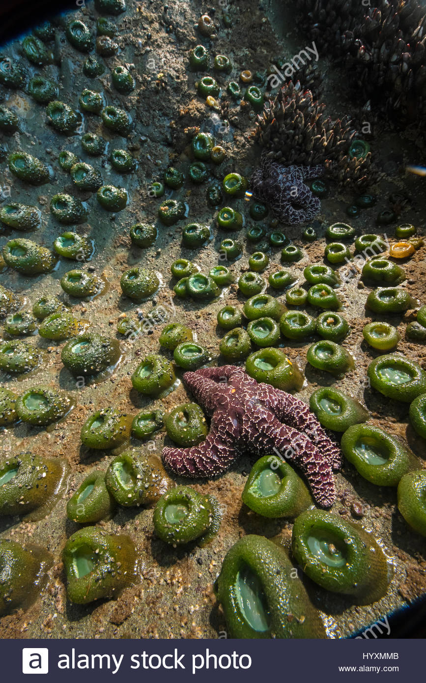 An ochre sea star, in decline due to rising sea temperatures, in a tide pool in Washington's Olympic National - Stock Image