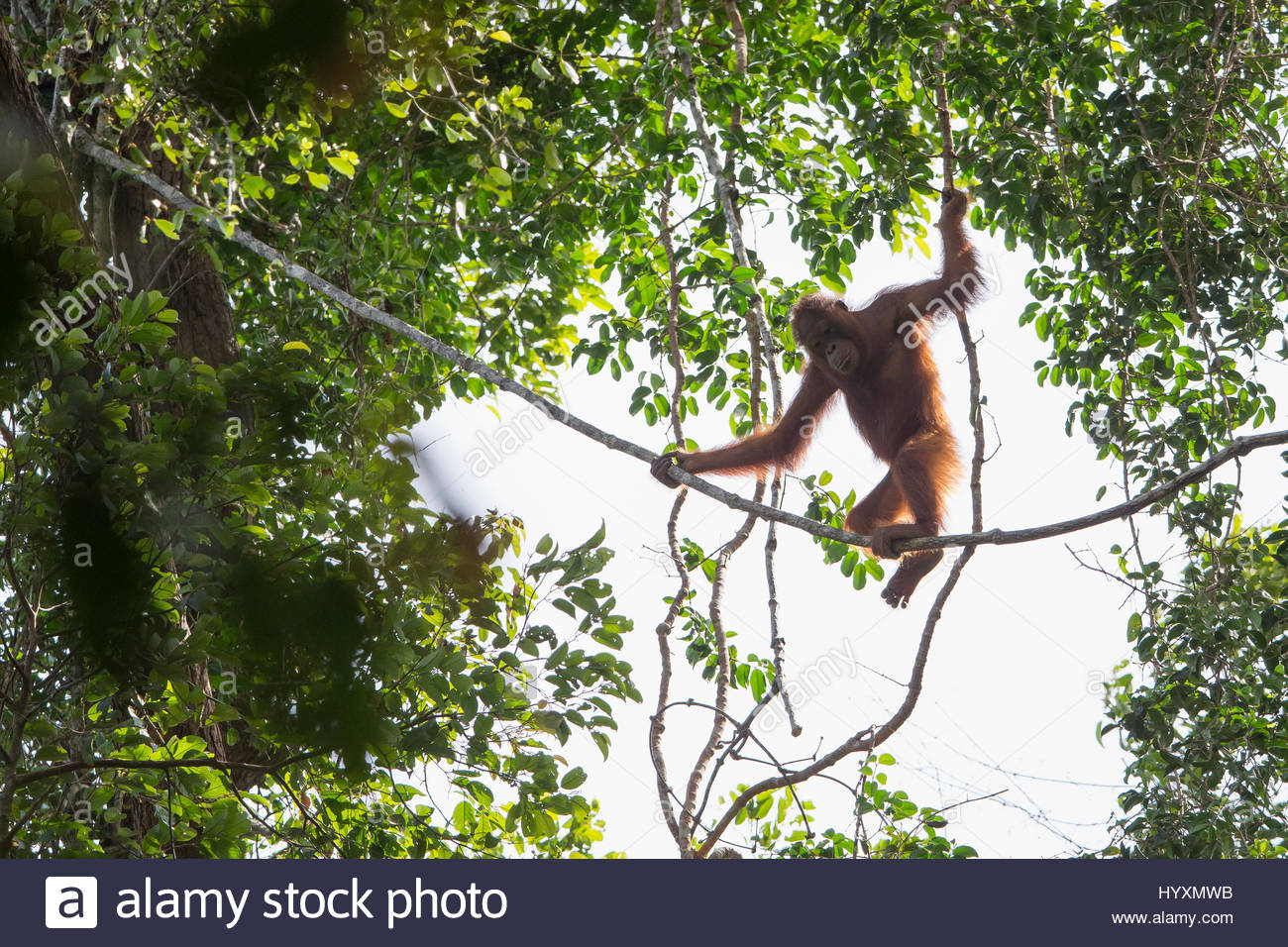 A young female Bornean orangutan swings from lianas in Gunung Palung National Park. - Stock Image