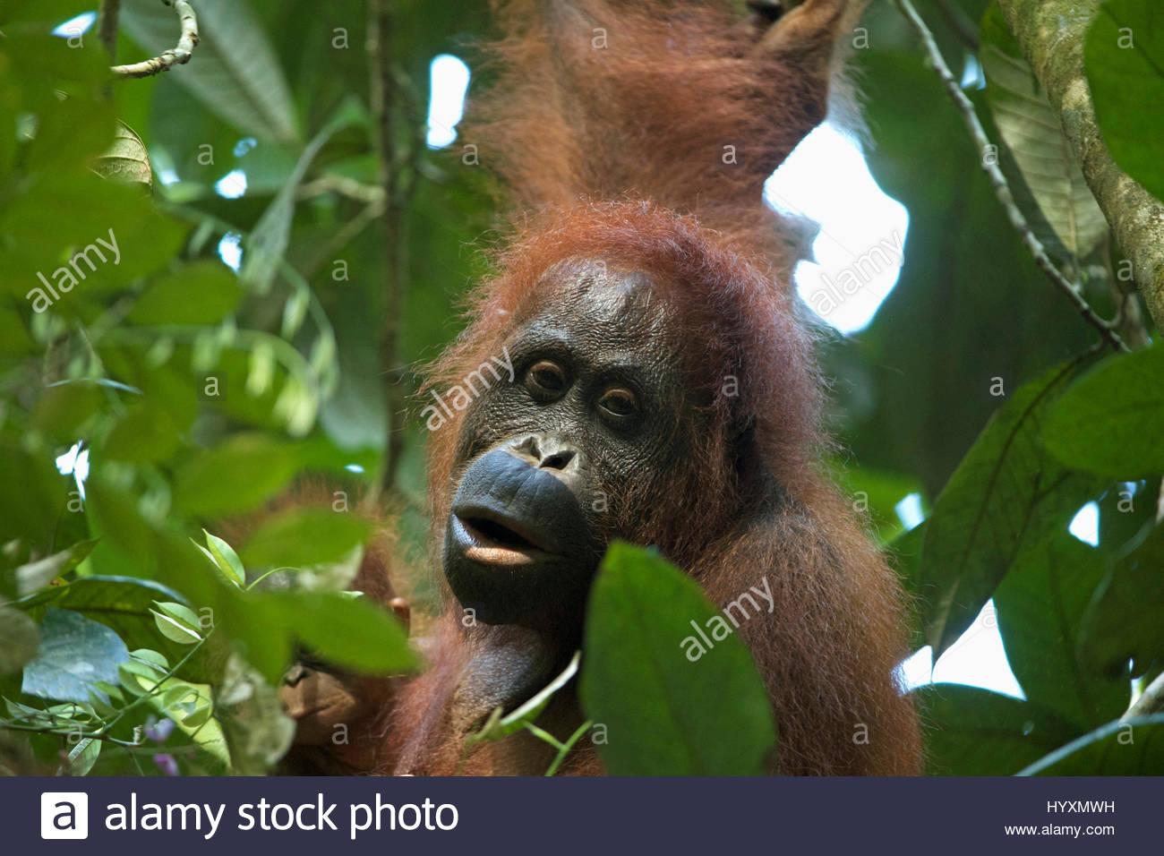 A female Bornean orangutan, Pongo pygmaeus wurmbii, with infant. - Stock Image