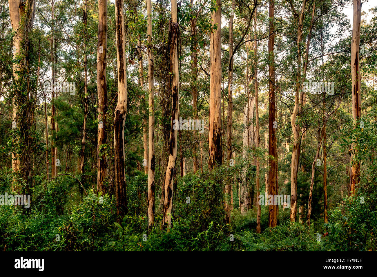Karri Forest of southwest Western Australia is one of the tallest in the world. Karri trees can grow up to 90 m - Stock Image
