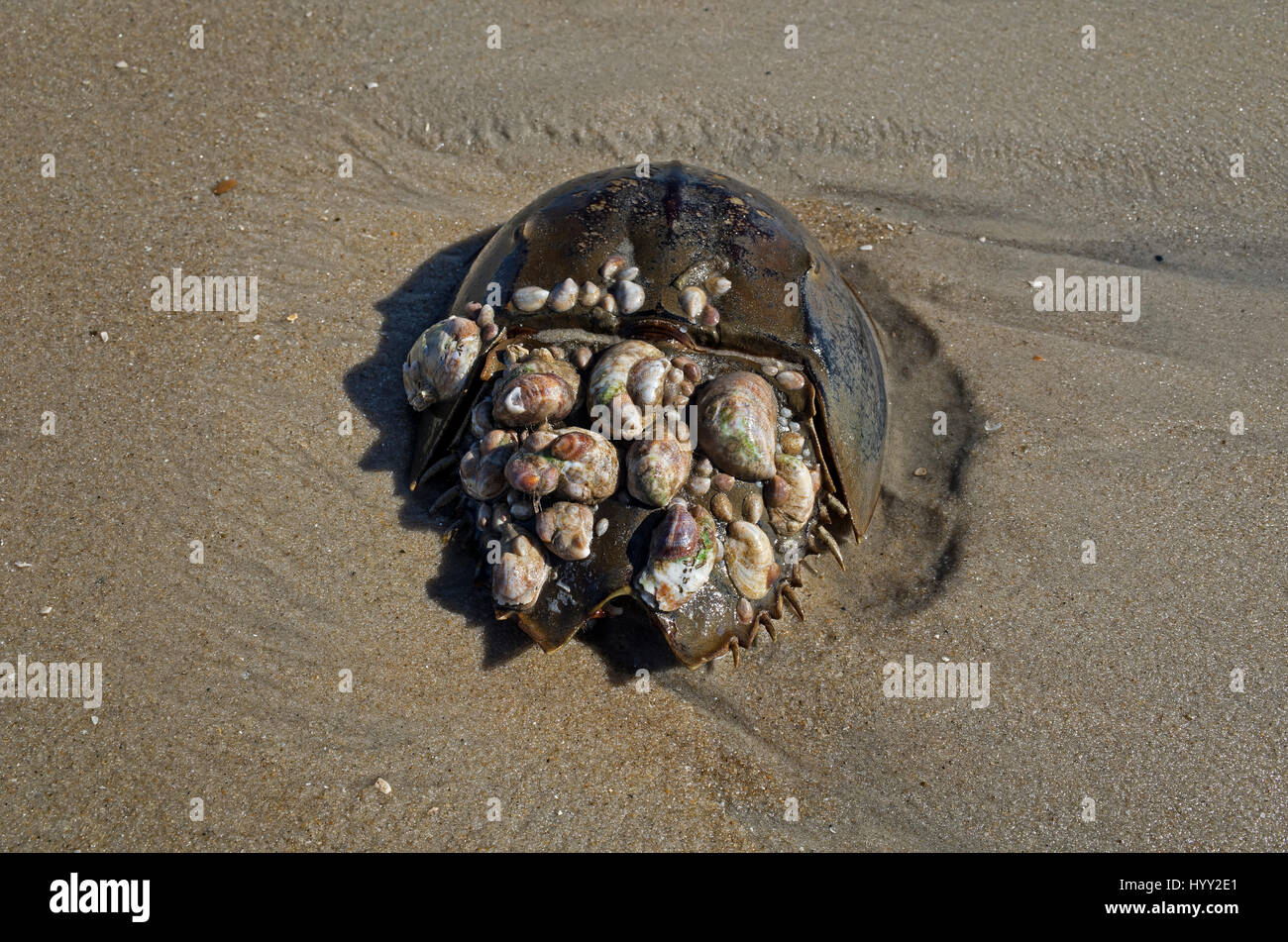 Sea shell encrusted Horseshoe crab. The crabs are marine arthropods of the family Limulidae.  They are invertebrates - Stock Image
