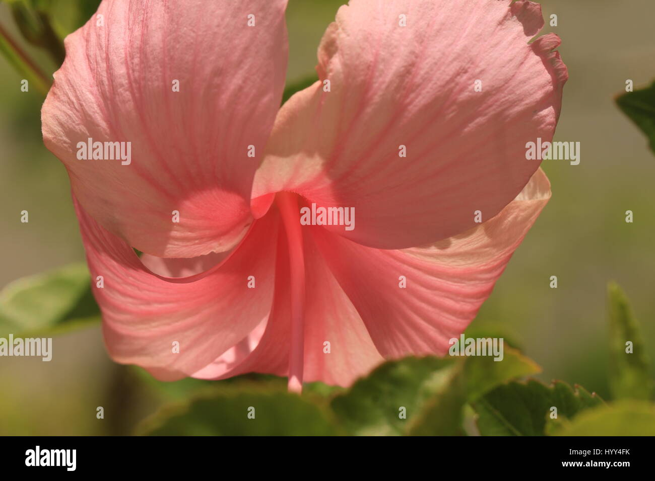 Tropical Pink Hibiscus Growing In Jamaica Stock Photo 137664567 Alamy