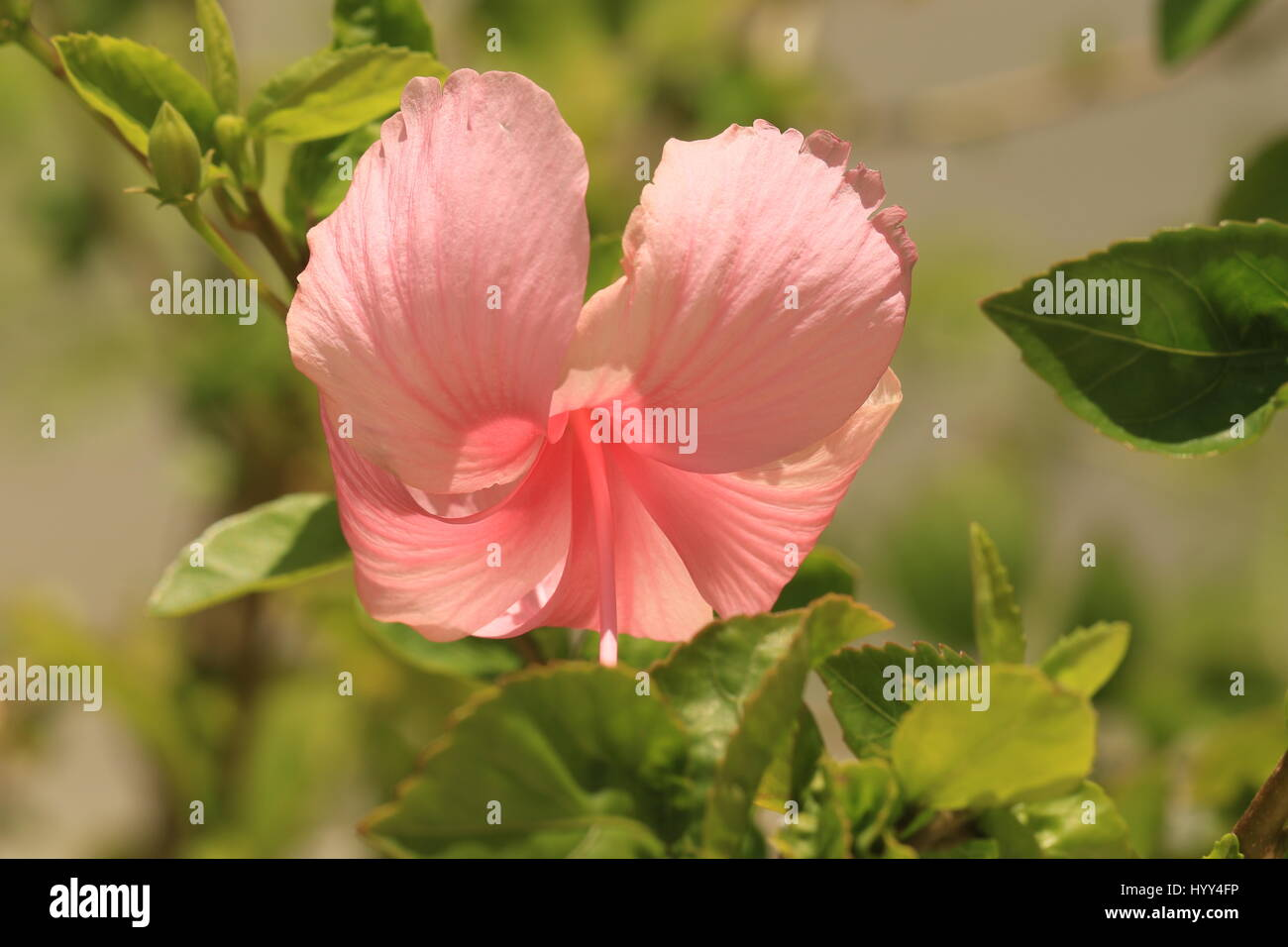 Tropical Pink Hibiscus Growing In Jamaica Stock Photo 137664570 Alamy