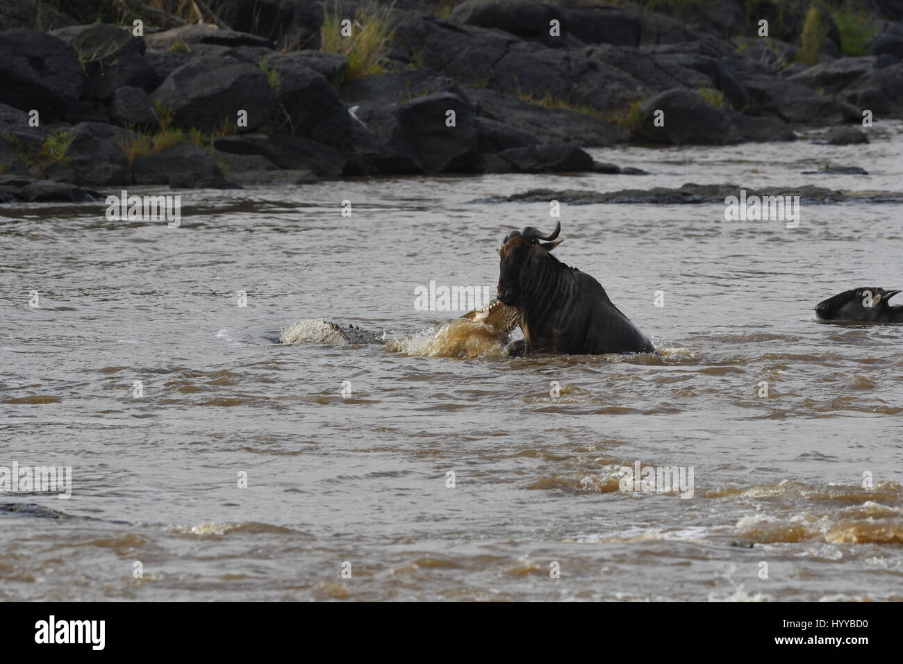 MASAI MARA, KENYA: DRAMATIC images have revealed the moment a hungry 880-pound crocodile emerged from the water - Stock Image
