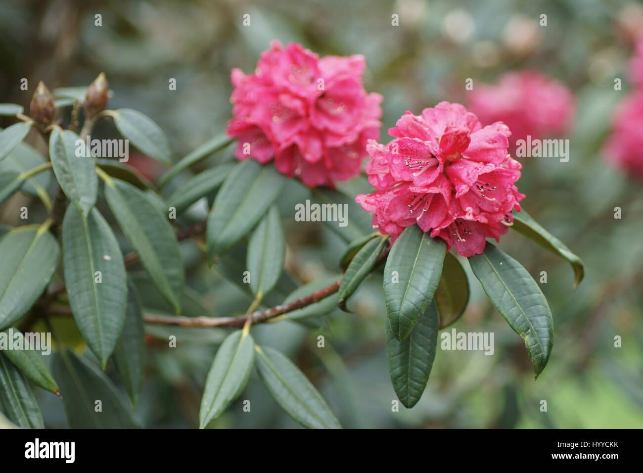 Rhododendron arboreum - Stock Image