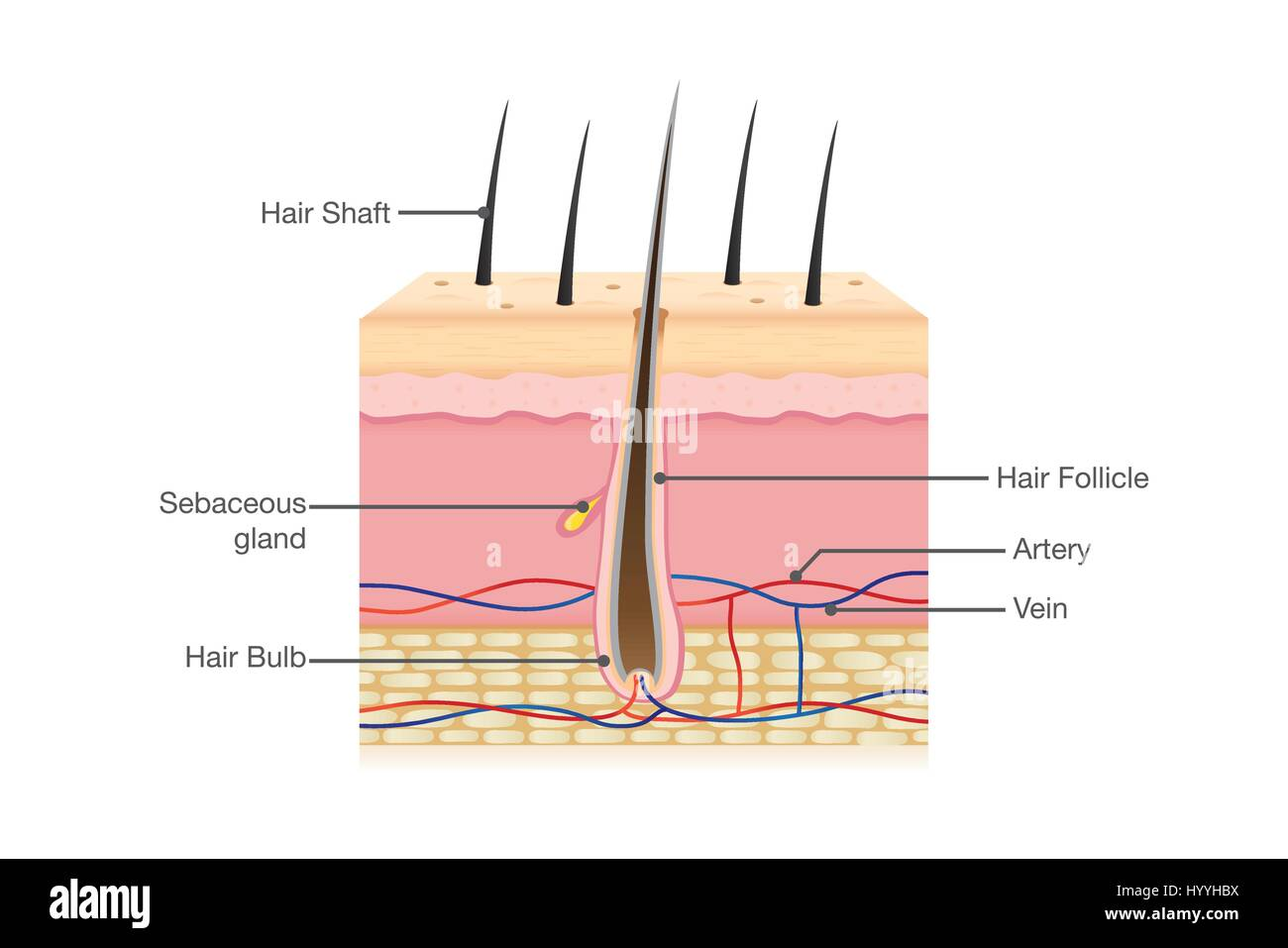 Human Hair Anatomy Stock Vector Art & Illustration, Vector Image ...