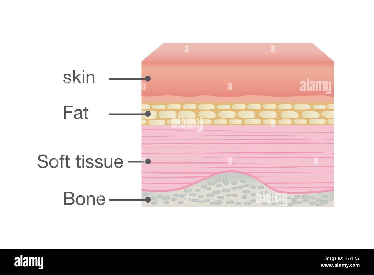 Human Skin Anatomy Diagram Stock Photos & Human Skin Anatomy Diagram ...