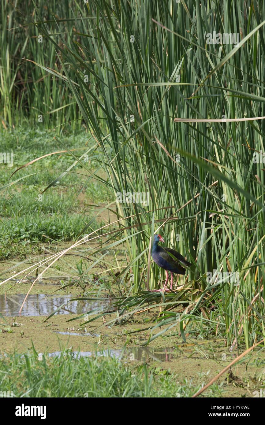 Purple swamp hen in reeds of marsh in Lake Manyara National Park, Tanzania, Africa. - Stock Image
