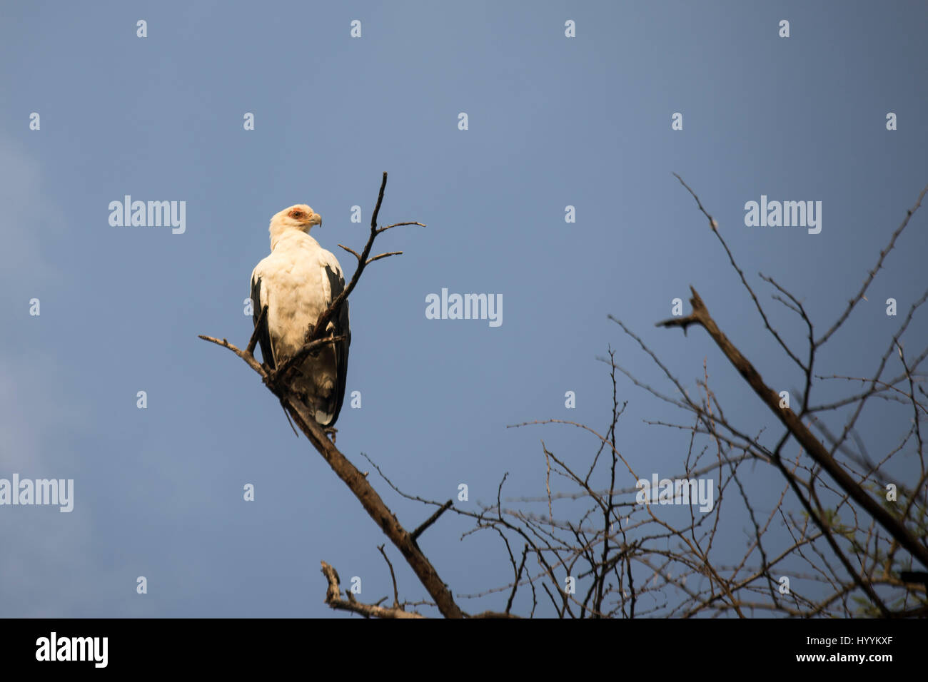 Palm nut vulture sitting on tree branch in Lake Manyara National Park, Tanzania, Africa. - Stock Image