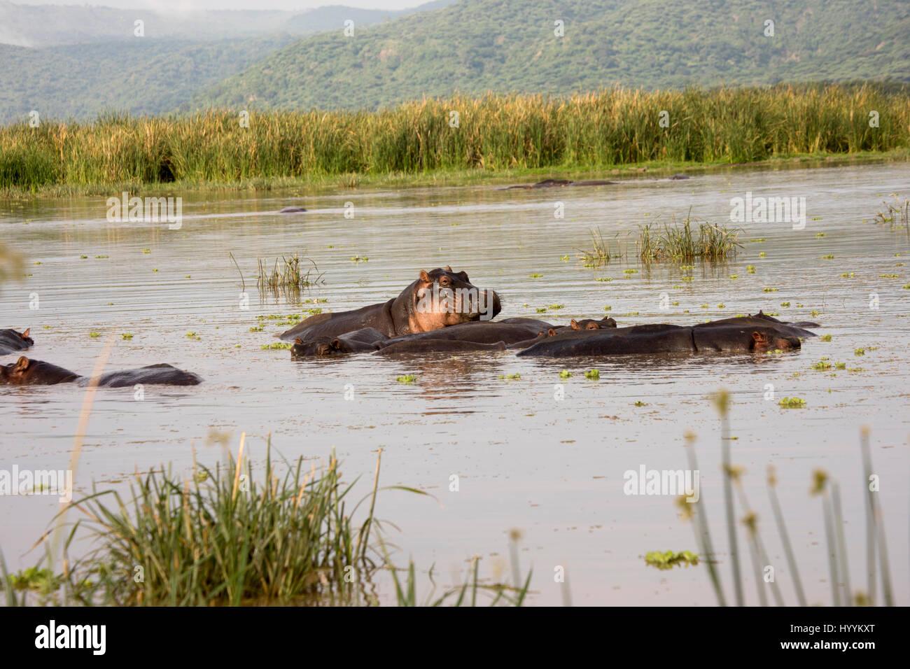 Partially submerged hippos in pool in Lake Manyara National Park, Tanzania, Africa. - Stock Image