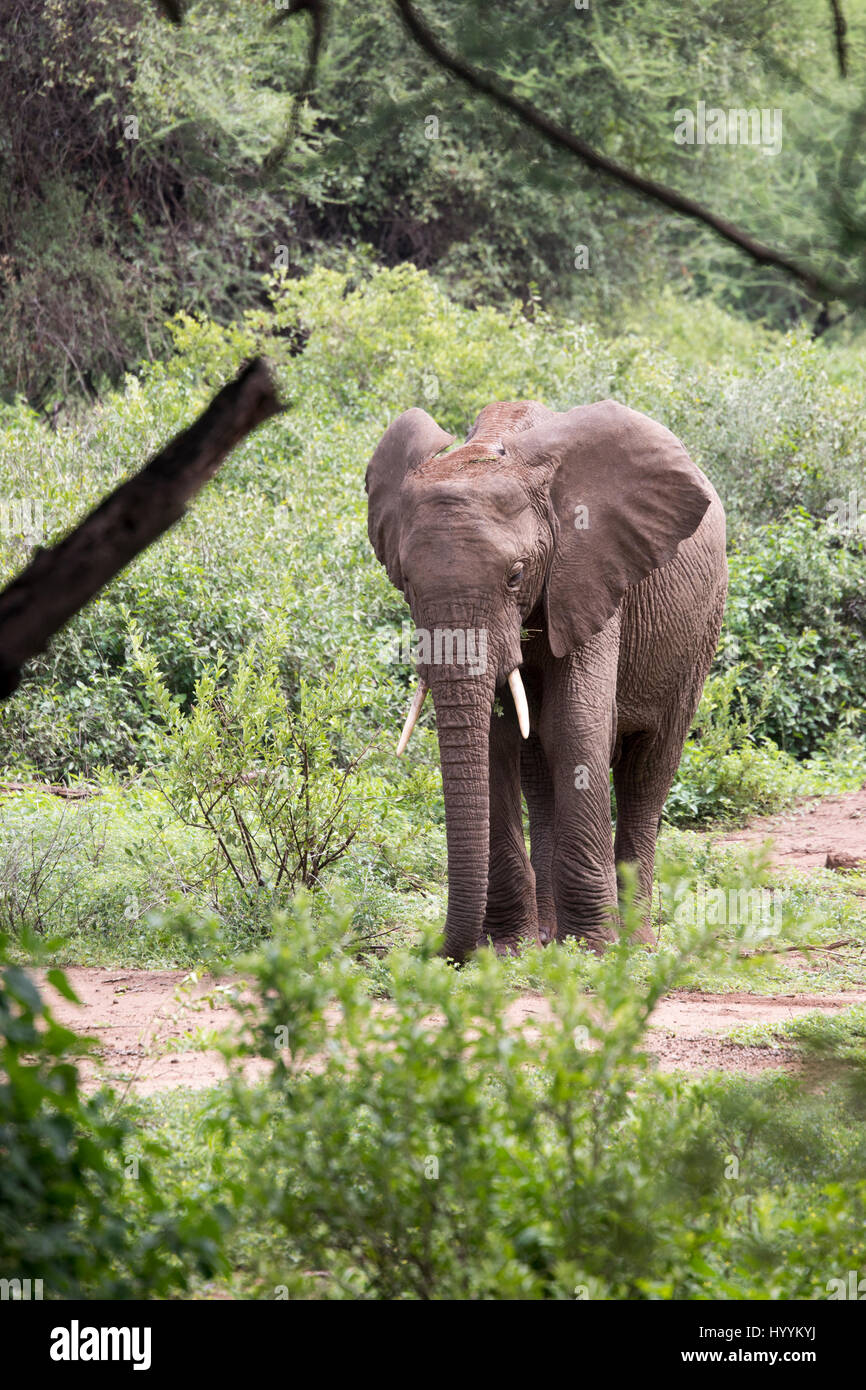 Elephant youth  in Lake Manyara National Park, Tanzania, Africa. - Stock Image