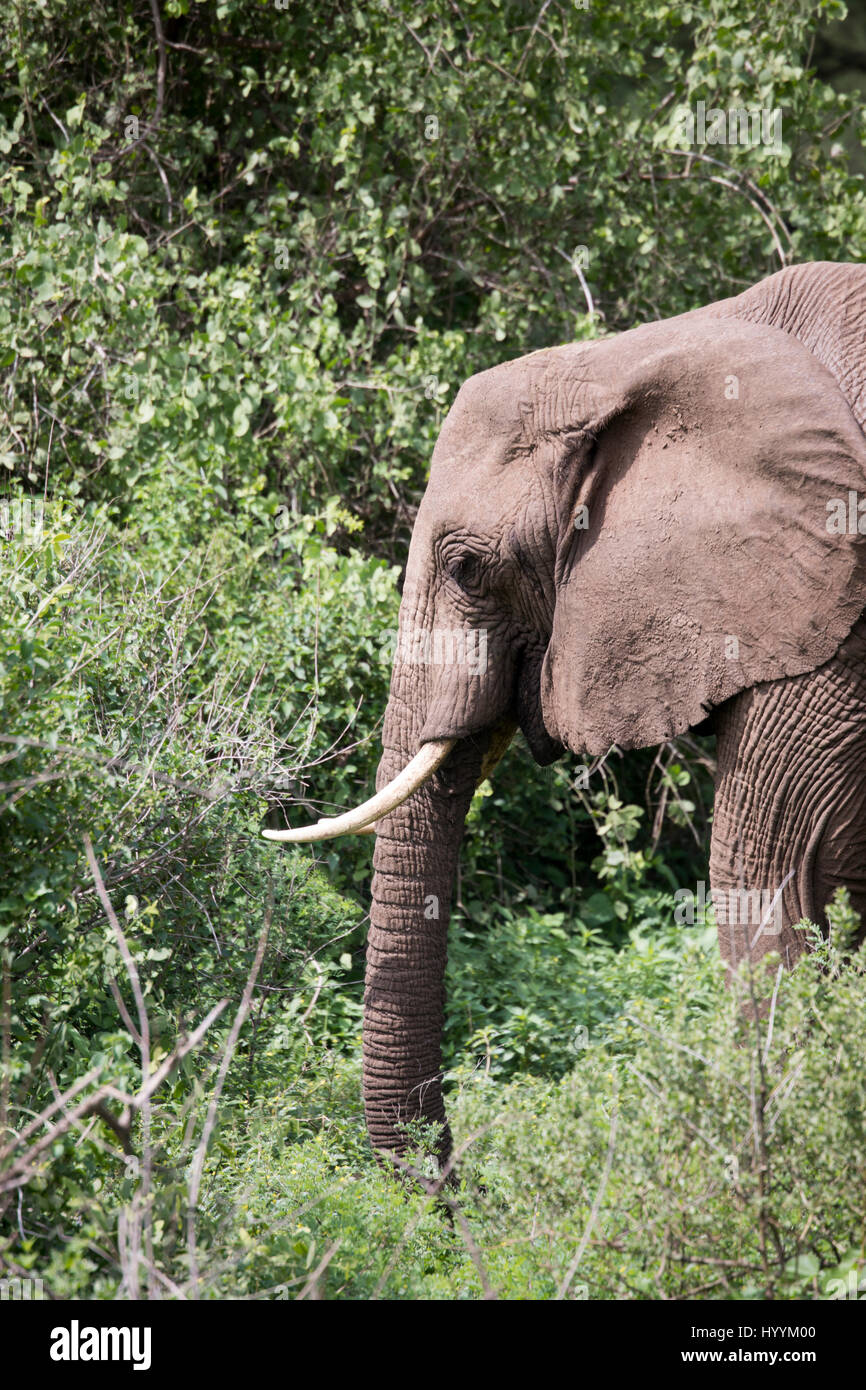 Elephant portrait in forest  in Lake Manyara National Park, Tanzania, Africa. - Stock Image