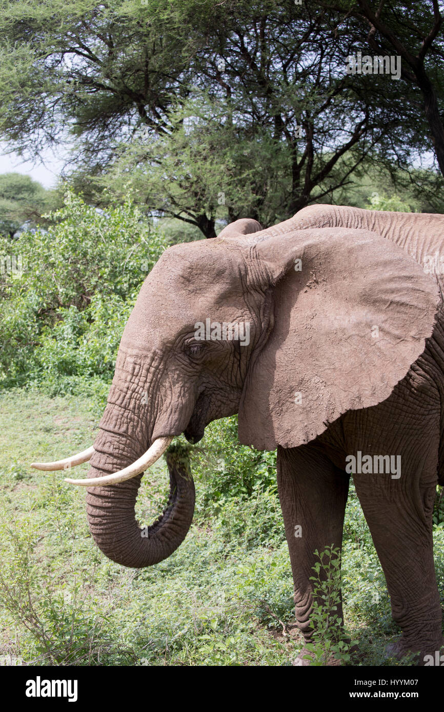 Elephant eating in forest in Lake Manyara National Park, Tanzania, Africa. - Stock Image